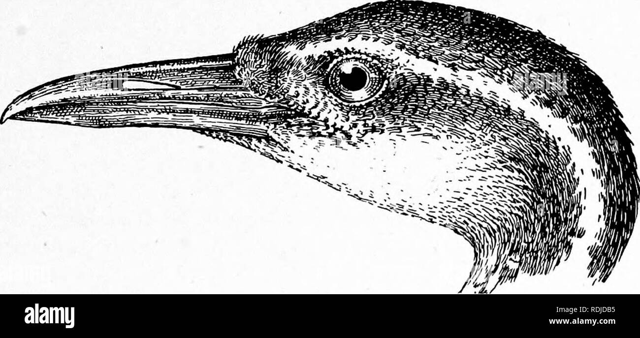 """. The birds of South Africa. Birds. HELIOENITHID^ PODICA 275 Podica senegalensis, Beichenoiv, Vog. Afr. i, p. 298 (1900) [in part]. """" Sun-Grebe'' or """" Water Treader """" of some authors. Description. Adult Male.—General colour above dark brown becoming quite black on the crown, back of the neck and tail- feathers ; mantle feathers and some of the lesser coverts with sub- terminal rounded white spots; sides of the face including the ear- coverts, chin and neck below, bluish grey ; rest of the lower surface white with a fulvous tinge, the fore-neck black, mottled with white, the side - Stock Image"""