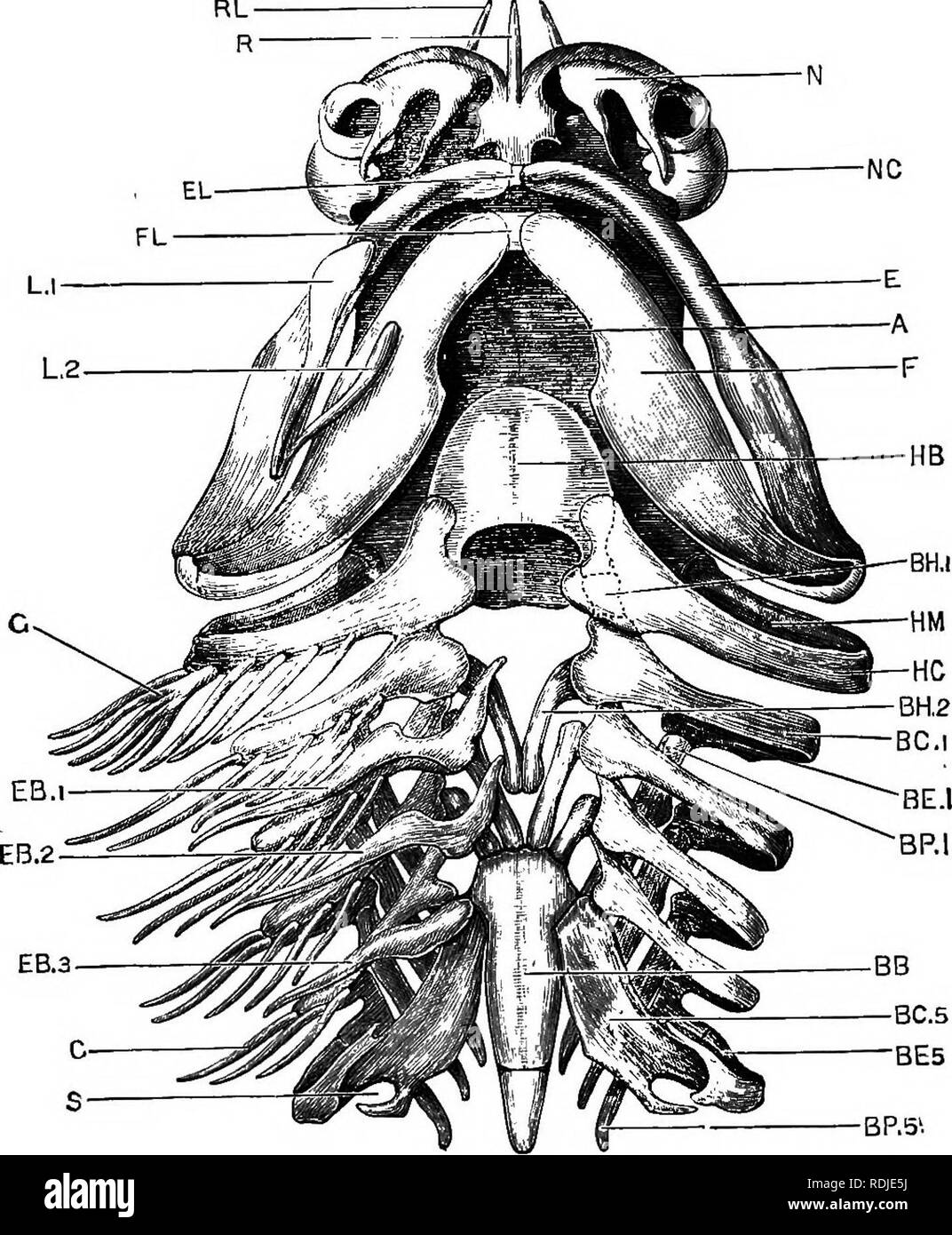 . A junior course of practical zoology. Zoology. 210 THE BOG-I'ISH. Eia. 46. Scyllium canicula. The skull and visceral skeleton seen from the ventral surface. The labial cartilages and gill-rays of the left side have been removed, (a. m. m.) A, base of skull. SB, basi-branchial. BC I'g BC 5, first aud fifth cerato- branchials. BE 1, BE 5. first and fifth epi-branchi^s. BH 1, first hypo- branchial, represented as though seen through the cerato-hyal. BH 2, second hypo-branchial. BP 1, BP 5, first and fiith pharyngo-brauchials. E, upper jaw. BB 1, EB 2, EB 3, first, second, and third extra-brancM - Stock Image