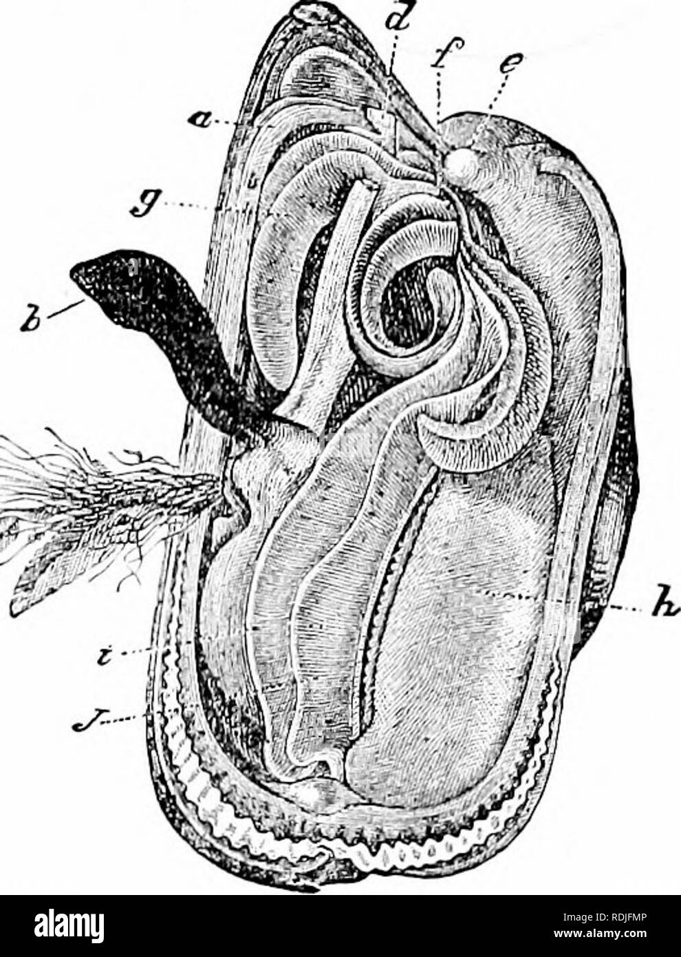. A manual of zoology. Zoology. FlG. Fig. 323. no. 324. Fig. 323.âProjection of section through foot and heart of lig. 322. h &^, upper and lower limbs of nephridium; d, intestine; c, nephridiopore; /Â«, foot; g, gonad; A', ventricle surrounding the intestine; h', auricle; /;â ', k-, inner and outer gill lamellae; I, hinge hgament; m, mantle; n, cerebro-visceral commissure; sp, nephrostome; v, venous sinus. Fig. 324.âMytilus edulis* (after Blanchard). a, edge of mantle; J, spinning finger of foot; c, byssus; d, e, retractors of foot;/, mouth; g, labial palpi; h, mantle; i, j, inner and ou - Stock Image