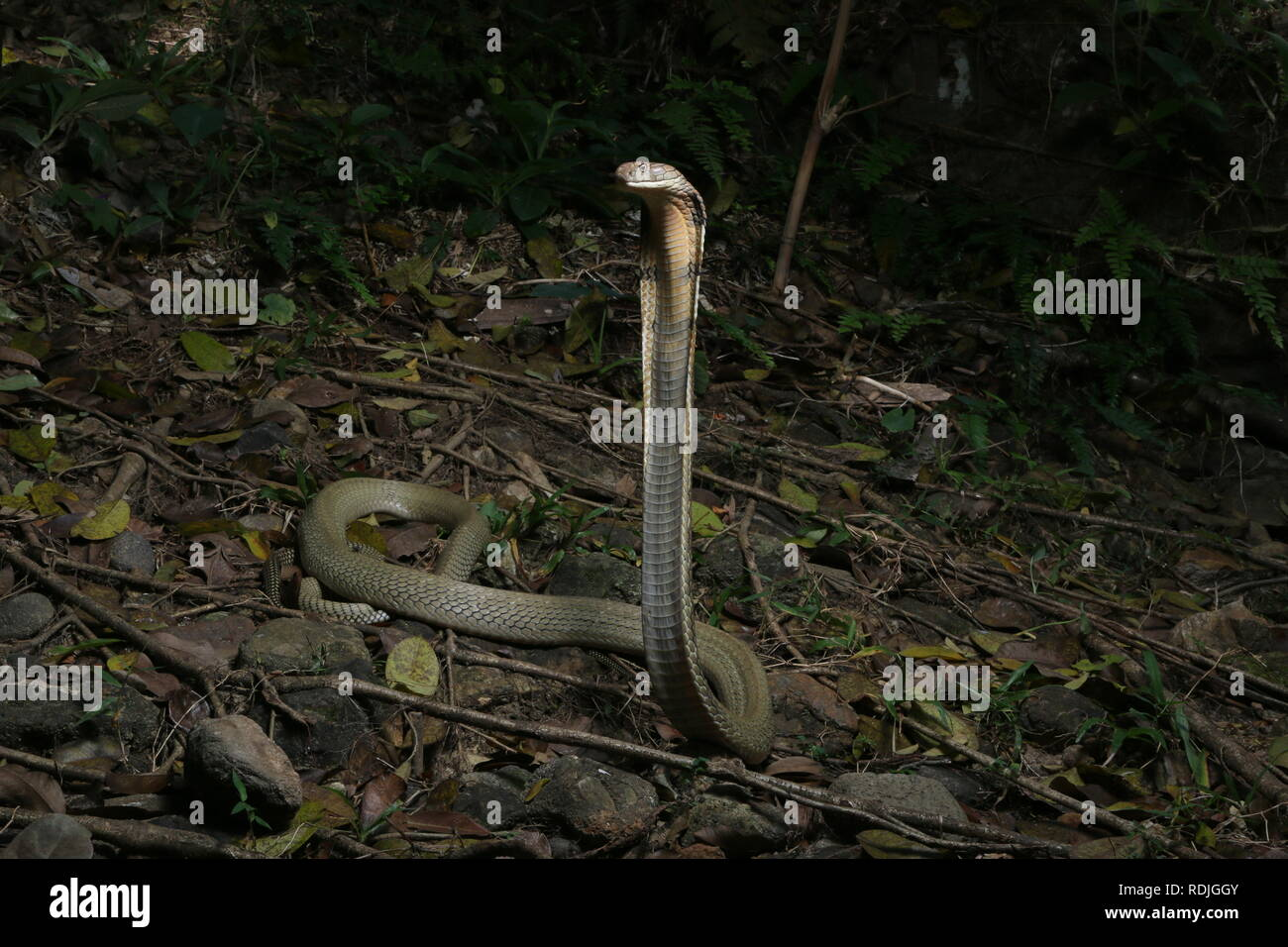 King cobra (Ophiophagus hannah), is a venomous snake species in the family Elapidae, endemic to forests from India  through Southeast Asia - Stock Image