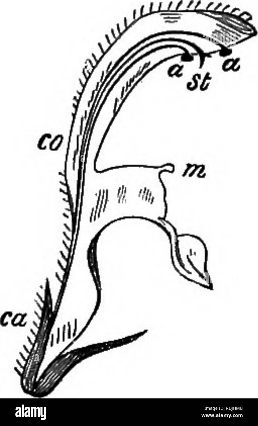 . The beauties of nature and the wonders of the world we live in. Natural history; Physical geography; Astronomy. Fig. 7. Fig. 8. white colour makes the flower more conspicu- ous ; the lower lip forms the stage on which the Bees may alight; the length of the tube is adapted to that of their proboscis; its narrowness and the fringe of fine hairs exclude small insects which might rob the flower of its honey without performing any service in return; the arched upper lip protects the stamens and pistil, and prevents rain-drops from choking up the tube and washing away the honey; the little teeth a - Stock Image