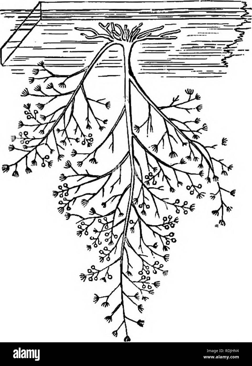 . The beauties of nature and the wonders of the world we live in. Natural history; Physical geography; Astronomy. ON ANIMAL LIFE 107 dusae in all stages of development (Fig. 3), some still in the condition of minute buds, in which no trace of the definite Medusa-form can yet. Fig. 2. — Bougainvilleafruticoaa; natural size. (After AUman.) be detected; others, in which the outlines of the Medusa can be distinctly traced within the transparent ectotheque (external layer); others, again, just casting off this thin outer pellicle, and others completely freed from it, struggling with convulsive effo - Stock Image