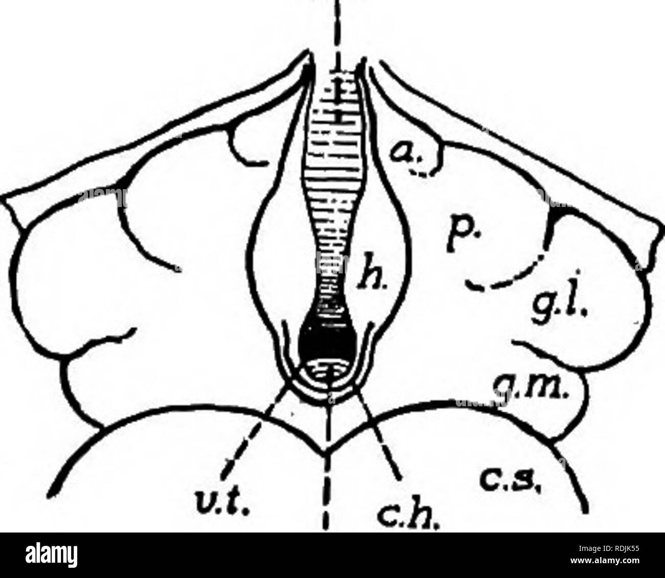 """. Practical anatomy of the rabbit : an elementary laboratory textbook in mammalian anatomy . Rabbits; Anatomy, Comparative. 274 Anatomy of the Rabbit.. By pressing apart the tips of the hemispheres, and removing thc'pineal body, the dorsal surface ot the thalamencephalon will be sufificiently exposed"""" to make out the following features: (f) The slit-like aperture appearing in the middle line after the removal of the pineal body represents the dorsal portion of the third ventricle (ventricujus tertius) (Fig. 84), the roof of which is formed anteriorly by the superficial portion of the chor - Stock Image"""