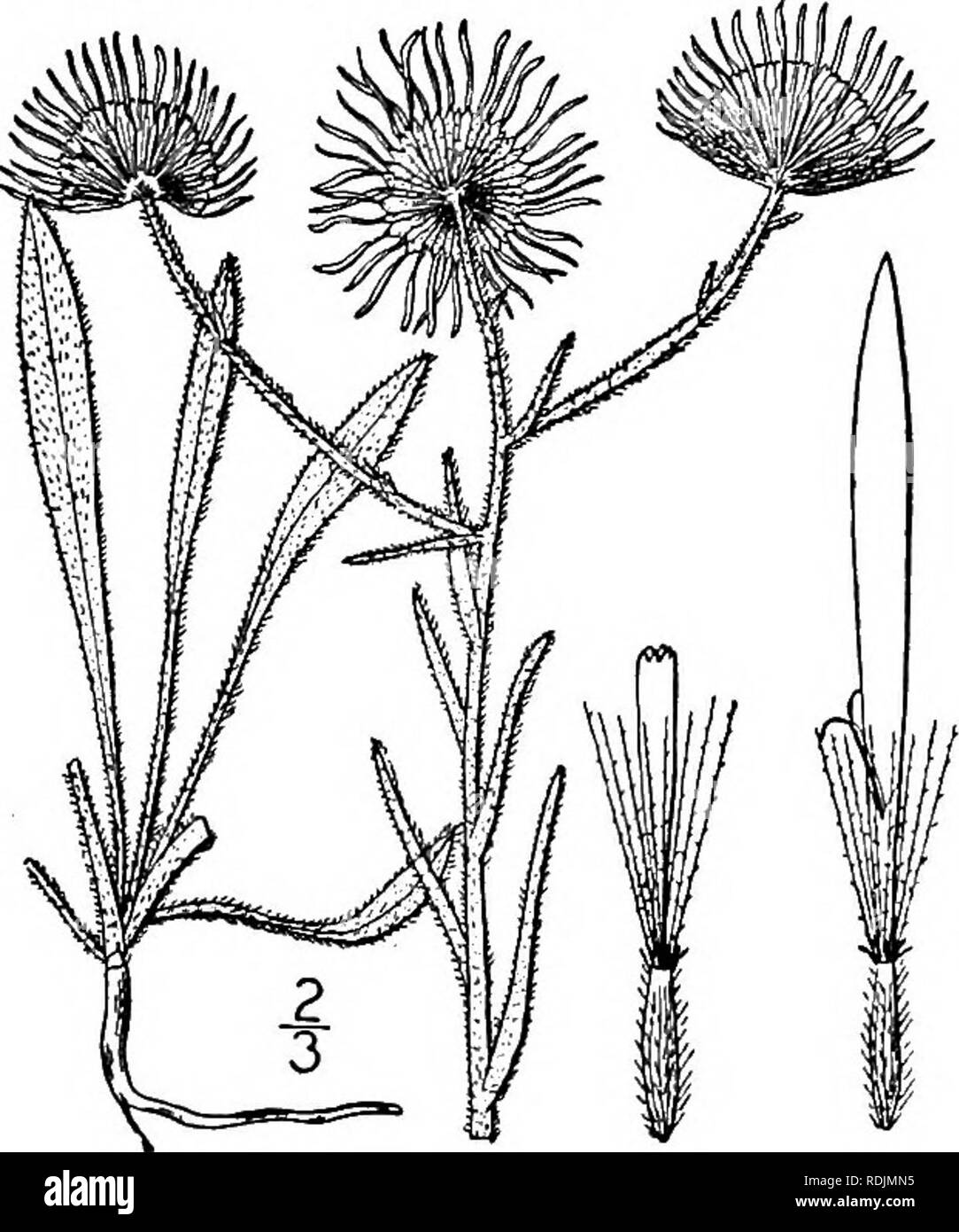 . An illustrated flora of the northern United States, Canada and the British possessions, from Newfoundland to the parallel of the southern boundary of Virginia, and from the Atlantic Ocean westward to the 102d meridian. Botany; Botany. 10. Erigeron philadelphicus L. Philadel- phia Fleabane. Skevish. Fig. 4370. Erigeron philadelphicus L. Sp. PI. 863. 1753. Perennial by stolons and offsets, soft-pubescent or sometimes nearly glabrous; stems slender, mostly branched above, l°-3° high. Basal and lower leaves spatulate or obovate, obtuse, dentate, 1/-3' long, narrowed into short petioles; upper st Stock Photo