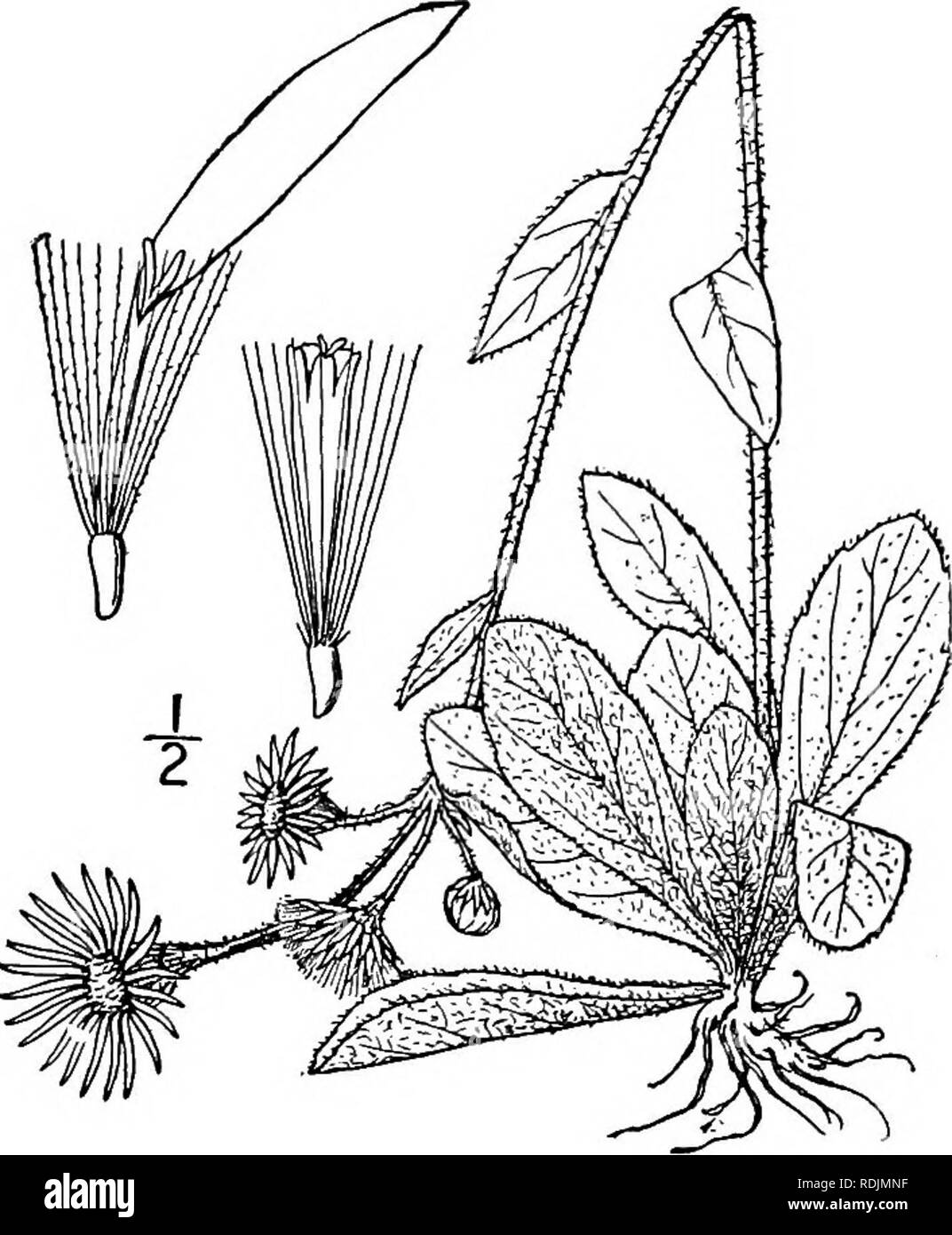 . An illustrated flora of the northern United States, Canada and the British possessions, from Newfoundland to the parallel of the southern boundary of Virginia, and from the Atlantic Ocean westward to the 102d meridian. Botany; Botany. Genus 35. THISTLE FAMILY. 439 g. Erigeron pulchellus Michx. Robin's or Poor Robin's Plantain. Fig. 4369. E. pulchellus Michx. Fl. Bor. Am. 2: 124. 1803. E. bellidifolius Muhl.; Willd. Sp. PI. 3 : 1958. 1804. Perennial by stolons and offsets, villous- pubescent; stems simple, slender, io'-24' high. Basal leaves tufted, spatulate or obovate, somewhat cuneate at t Stock Photo