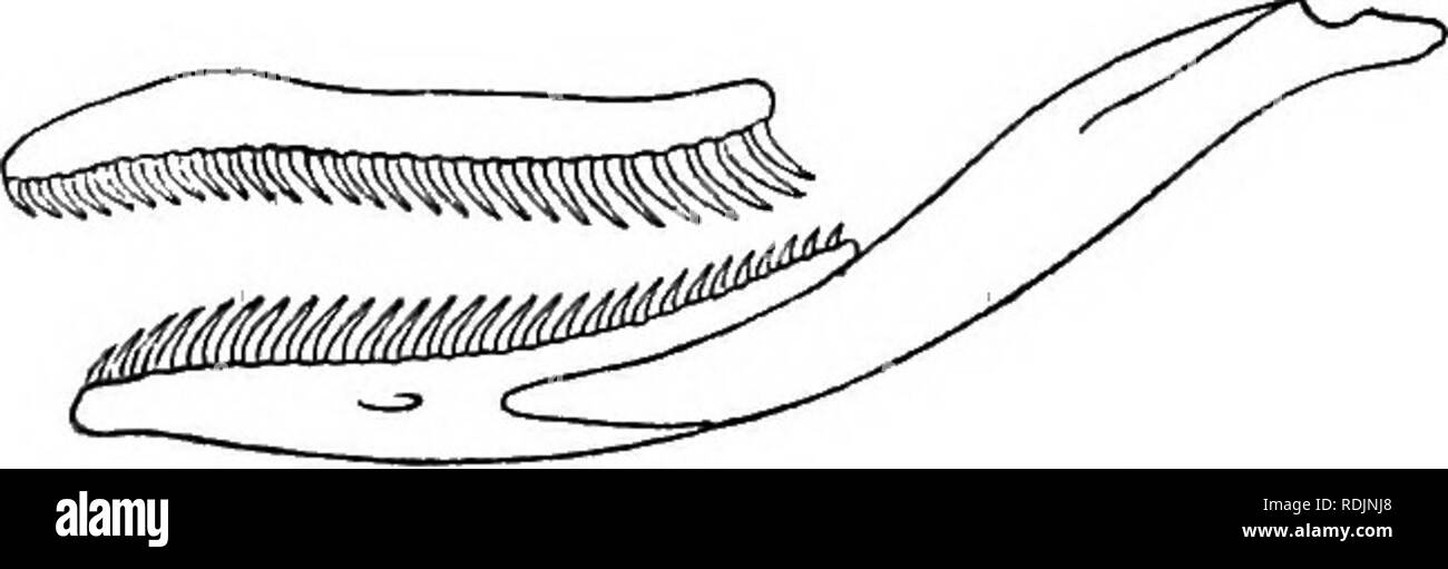 . Catalogue of the snakes in the British Museum (Natural History) ... Serpents. 56, XENELAPHIS. 7 Nostril between a nasal and the first labial. 117. Macrocalamus, II. p. 327. d. Maxillary teeth small, subequal; parietal in contact with labials ; eye small or very small. u. Nostril between two nasals. Loreal present, entering the eye. 113. Geophis, II. p. 314. No loreal; an azygous shield between the internasals. 118. Idiopholis, II. p. 327. (i. Nostril in a single nasal; no loreal. * Nasal small. Eye moderately small; body extremely slender. 115. Stilosoma, II. p. 325. Eye very small 119. Ehab - Stock Image