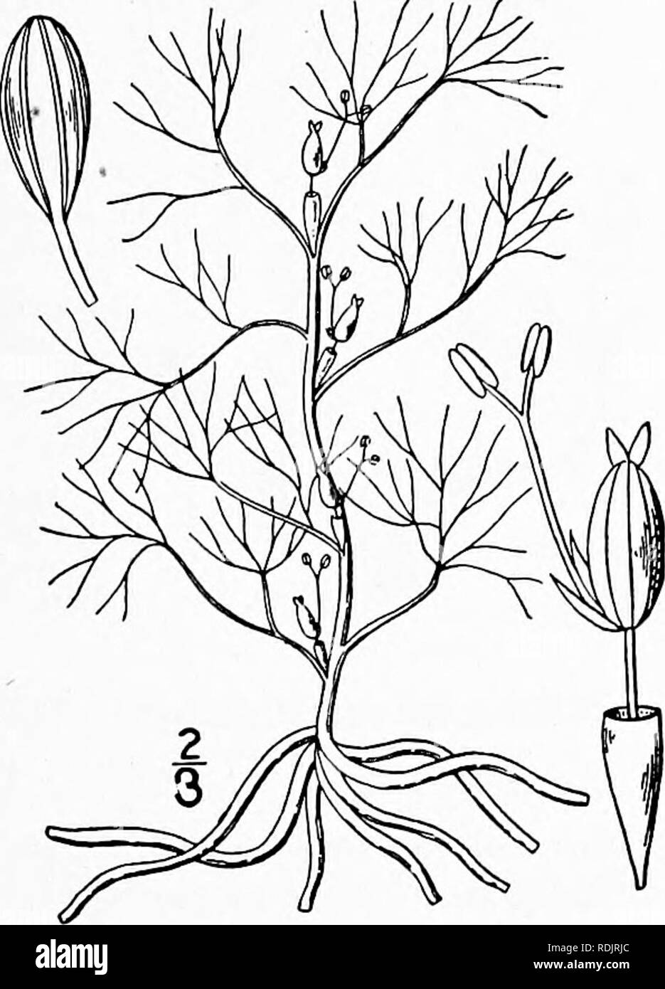 . An illustrated flora of the northern United States, Canada and the British possessions, from Newfoundland to the parallel of the southern boundary of Virginia, and from the Atlantic Ocean westward to the 102d meridian. Botany; Botany. Genus i. RIVER-WEED FAMILY. 205 Family 43. PODOSTEMACEAE Lindl. Nat. Syst. Ed. 2, 190. 1836. River-weed Family. Small aquatic fresh-water mostly annual fleshy herbs, the leaves usually poorly dififerentiated from the stem, the whole structure commonly resembling the thallus of an alga or hepatic, the small usually perfect flowers devoid of any perianth and subt - Stock Image