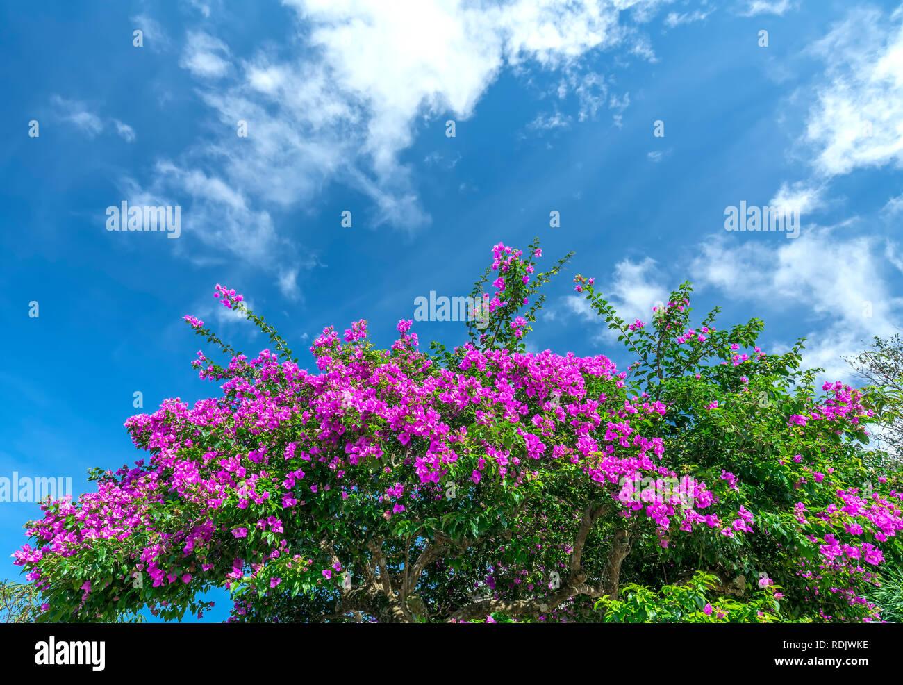 Bougainvillea tree colorful purple blooms under the bright morning sun. Stock Photo