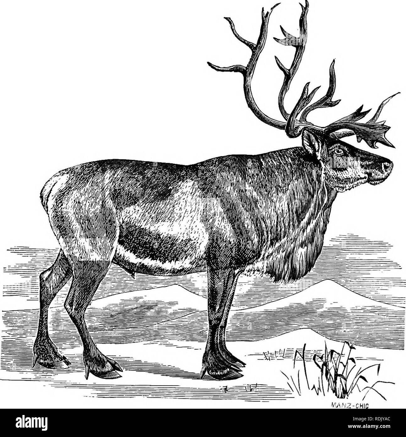 ". The antelope and deer of America : a comprehensive treatise upon the natural history, including the characteristics, habits, affinities, and capacity for domestication of the Antilocapra and Cervidae of North America . Pronghorn; Deer; Mammals. CONGENERS. 329 improvement in size may be met among the wild specimens in that far eastern country. The difference in size, therefore be"" tween the eastern and the western varieties is no^ univeri! but of EuUpe """" "" """"^'""' ""^*' *^°^^ °^ *^« ^-tt In form, also there is an appreciable difference between the Americ - Stock Image"