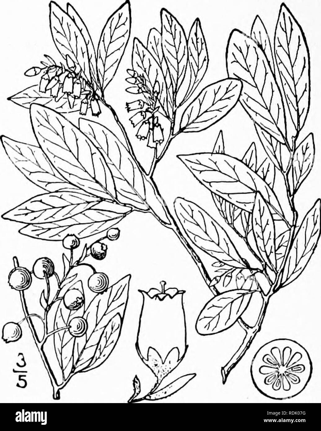 . An illustrated flora of the northern United States, Canada and the British possessions, from Newfoundland to the parallel of the southern boundary of Virginia, and from the Atlantic Ocean westward to the 102d meridian. Botany; Botany. 696 VACCINIACEAE. Vol. II.. tucky. Black-snap. Crackers. 2. Gaylussacia baccata (Wang.) K. Koch. Black or High-bush Huckleberry. Fig. 3253. Andromeda baccata Wang. Beitr. iii, pi. 30. f. 6g. 1787. Vaccinium resinosum Ait. Hort. Kew. 2:12. 1789. G. resinosa T. & G.; Torr. FI. N. Y. i: 449. 1843. G. baccata K. Koch, Dendr, 2: 93. 1869-72. A shrub, i°-3° high, - Stock Image