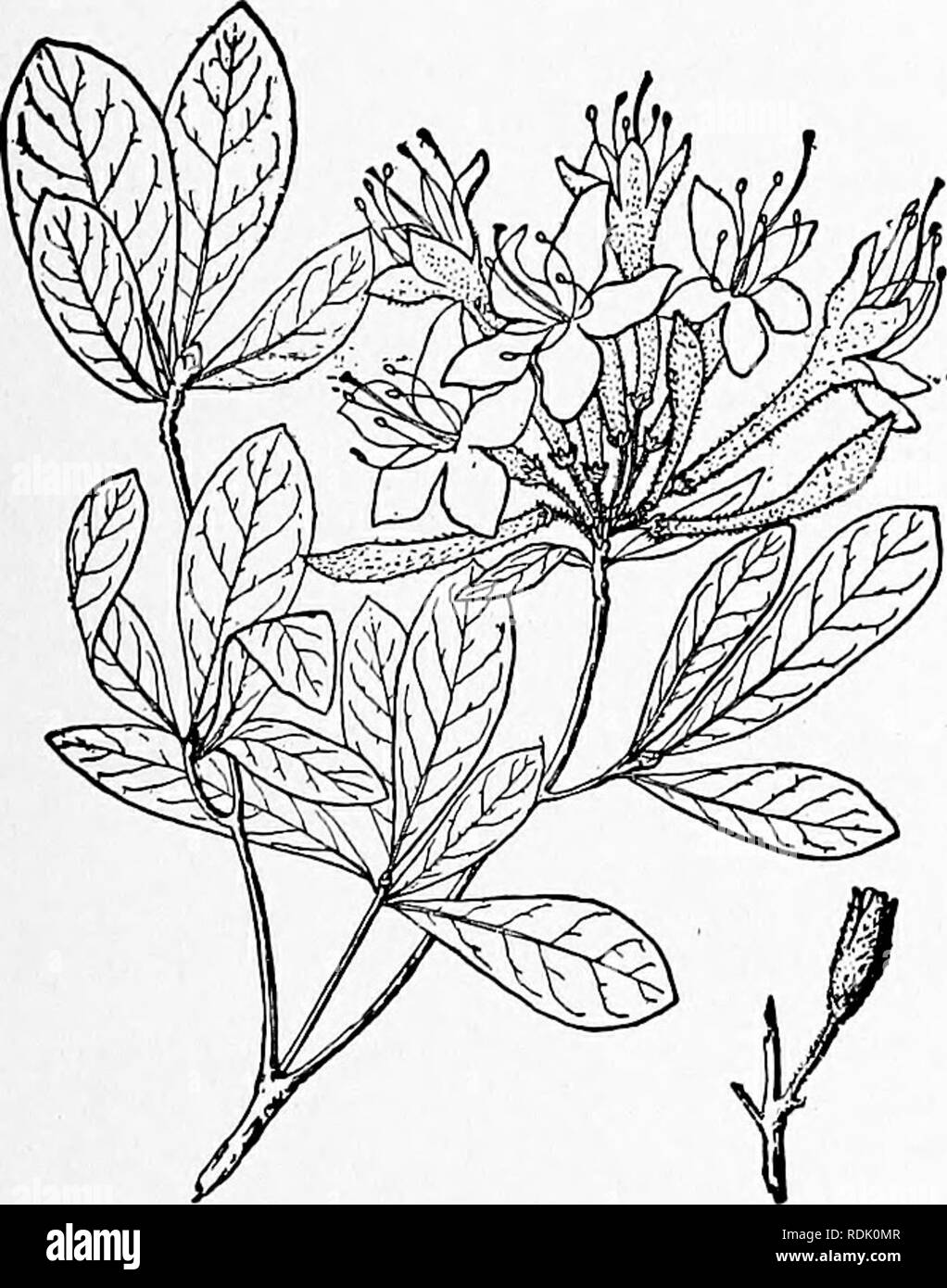 . An illustrated flora of the northern United States, Canada and the British possessions, from Newfoundland to the parallel of the southern boundary of Virginia, and from the Atlantic Ocean westward to the 102d meridian. Botany; Botany. 5. Azalea viscosa L. Swamp Pink or Honeysuckle. White Azalea. Fig. 3219. A:::alea viscosa L. Sp. PI. 151- 1753- Rhododendron viscosiim Torr. Fl. N. & Mid. U. S. 424. 1824. A shrub, i°-8° high, usually much branched, the twigs hairy. Leaves obovate-oblong to oblanceolate, 1-4' long, very short-petioled, obtuse and mucronulate or acute at the apex, narrowed a - Stock Image