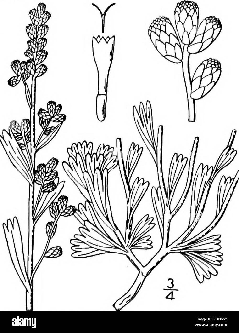 An Illustrated Flora Of The Northern United States Canada