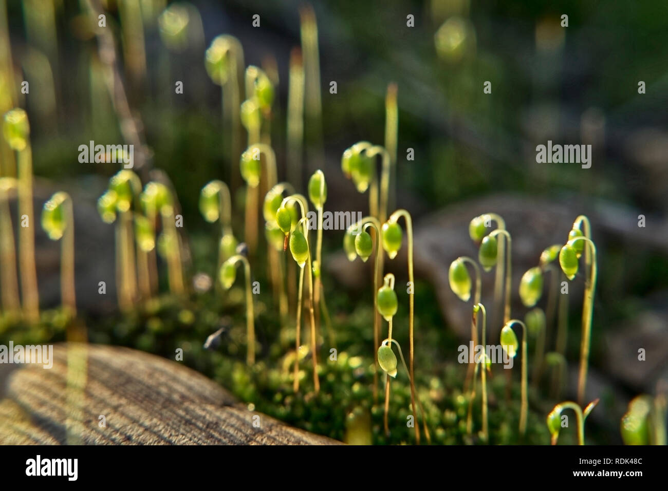 The sun shines through the small grasses on the moss on the stone railway embankment - Stock Image