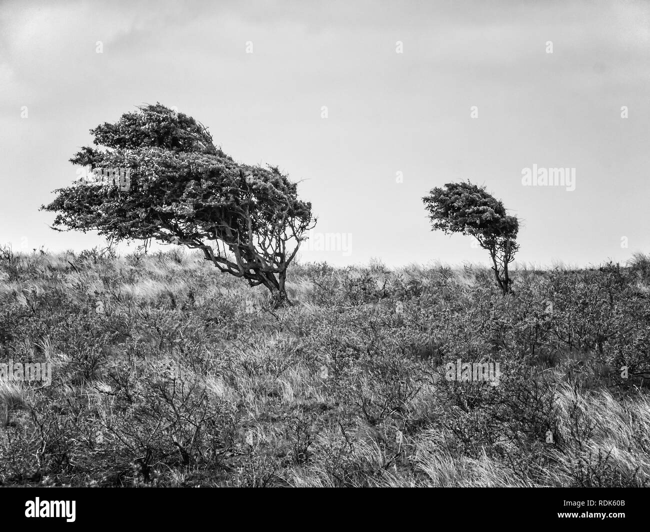 Two hawthorne bushes in the dunes of district Waterleidingduinen near to the cities Zandvoort and Amsterdam in the Netherlands, monochrome - Stock Image