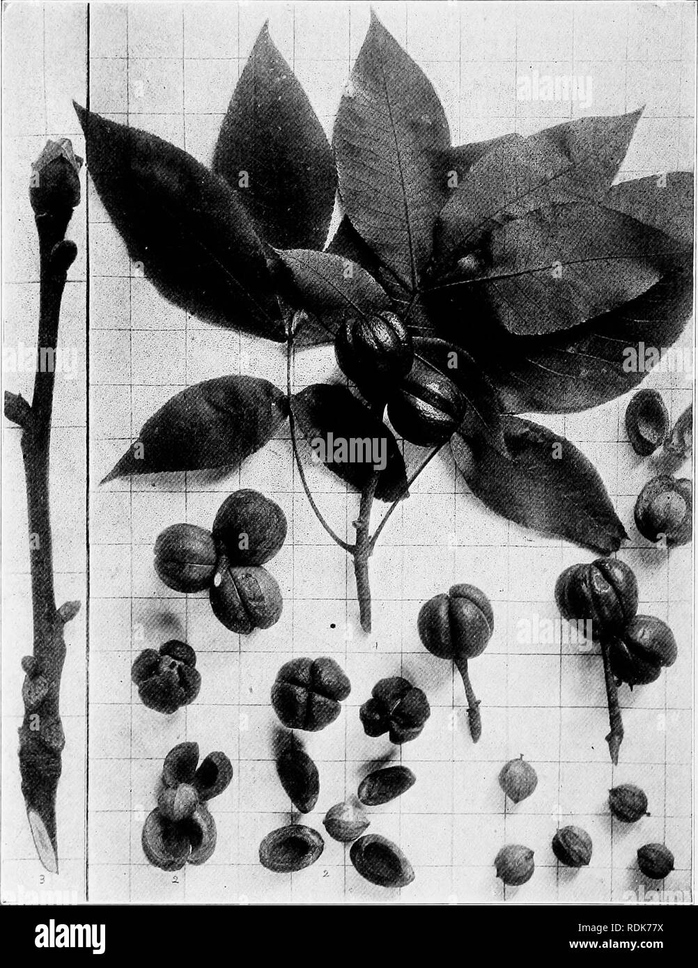. Handbook of the trees of the northern states and Canada east of the Rocky Mountains, photo-descriptive . Trees. SHAG-BARK HICKORY. Ilicoria ovata (Mill.) Britt.-'. Fig. 68. Branch with mature leaves and fruit, i ; epicarp removed showing thick valves and nuts. 2 ; branchlet in winter, 3. 69. Trunlc of a tree near North Rush, N. Y.. Please note that these images are extracted from scanned page images that may have been digitally enhanced for readability - coloration and appearance of these illustrations may not perfectly resemble the original work.. Hough, Romeyn Beck, 1857-1924. Lowville, N. - Stock Image