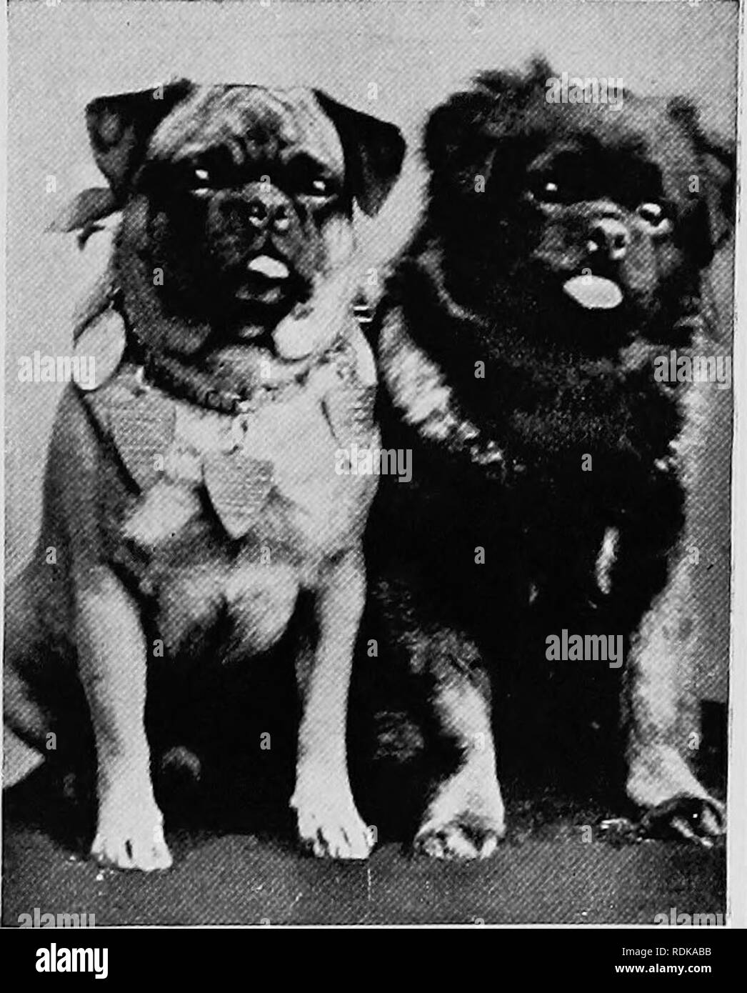 """. Mammals of other lands;. Mammals. THE DOG FAMILY 107. very quaint and peculiar in appearance. They should have square heads and muzzles, with small,ears, large protruding eyes, short thick bodies, and tails tightly curled over the back. The illus- tration, """" Duchess of Connaught,"""" is of a well-known winner. Maltese Terriers are very beautiful when pure bred. They have a long straight coat of silky white hair nearly reaching the ground, black nose and eyes, and the tail curled over the back of their short cobby body. Their beauty well repays the trouble of keeping them in good condi - Stock Image"""
