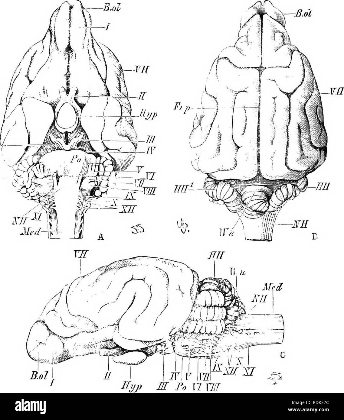 . The Cambridge natural history. Zoology. BRAIN OF CARNIVORA 389 surface of that bone. The digits of the Carnivora are mostly five, and are never less than four. The mode of progression may be digitigrade or plantigrade, and the intermediate semidigitigrade r- Ellr - ^. Fig. 192.—Brain of Dog. A, Ventral : B, dorsal ; C, lateral aspect. B.ol, Olfactory lobe ; Cr.ce, crura cerebri : Fi.p, great longitudinal fissine ; ////, HH^, lateral lobes of cerebellum ; Hyp. hypophysis ; MeJ, spinal cord ; SH, medulla oblongata ; I'i pons Varolii; VH, cerebral hemispheres ; Wu, middle lobe (vermis) of cere - Stock Image