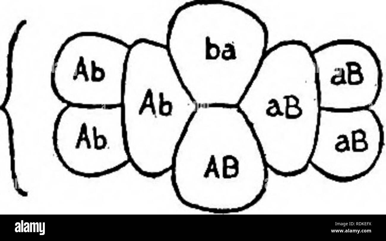 """. The physical basis of heredity . Heredity. 3Ab. '3aB 16.3 lAB Fig. 51.—Two schemes illustrating the idea of reduplication by Bateson and Punnett; the three figures to the left illustrating """"coupling,"""" and the three to the right """"repulsion."""" 2. If reduplication occurred at an early stage in the germ tract, we should expect to find in any organ of limited size, as a stamen, that there would be a likelihood that it would contain for the most part a particular kind of cell. Altenburg tested out this view with pollen of the primrose and found no evidence in favor of a limited  - Stock Image"""