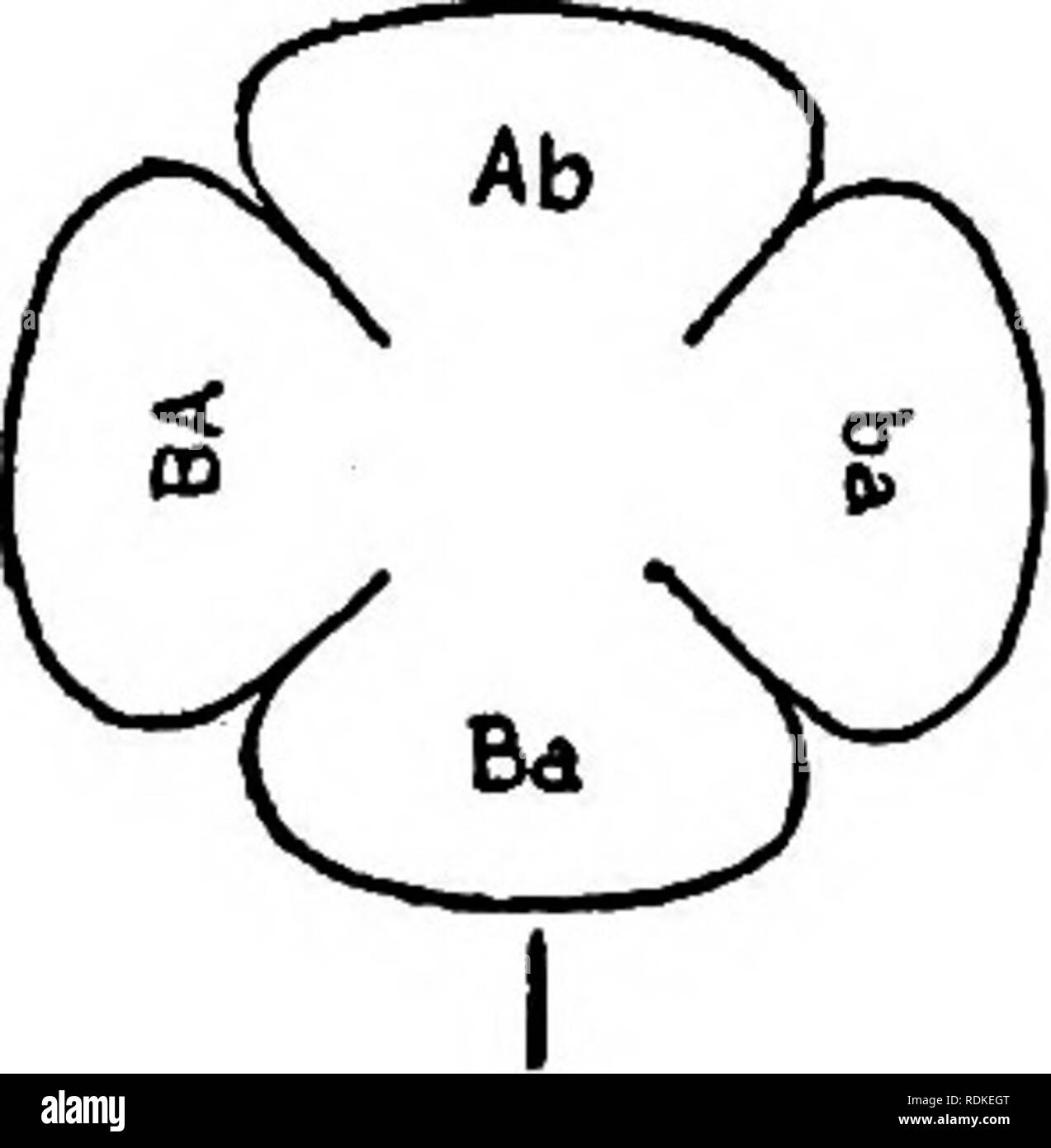 . The physical basis of heredity . Heredity. 116 PHYSICAL BASIS OF HEREDITY such groups as those given by Bateson. Even were it pos- sible to suppose that in each case a different reduplica- tion occurred {i.e., a different number of generations was passed through), still, as said above, it is not obvious that the linkage series stands in any such numerical {i.e., dichotomous) relation as the view demands. ABxab ( AB ab j ^bxaB ( Ab.aB J. n-» n-l. Please note that these images are extracted from scanned page images that may have been digitally enhanced for readability - coloration and appearan - Stock Image