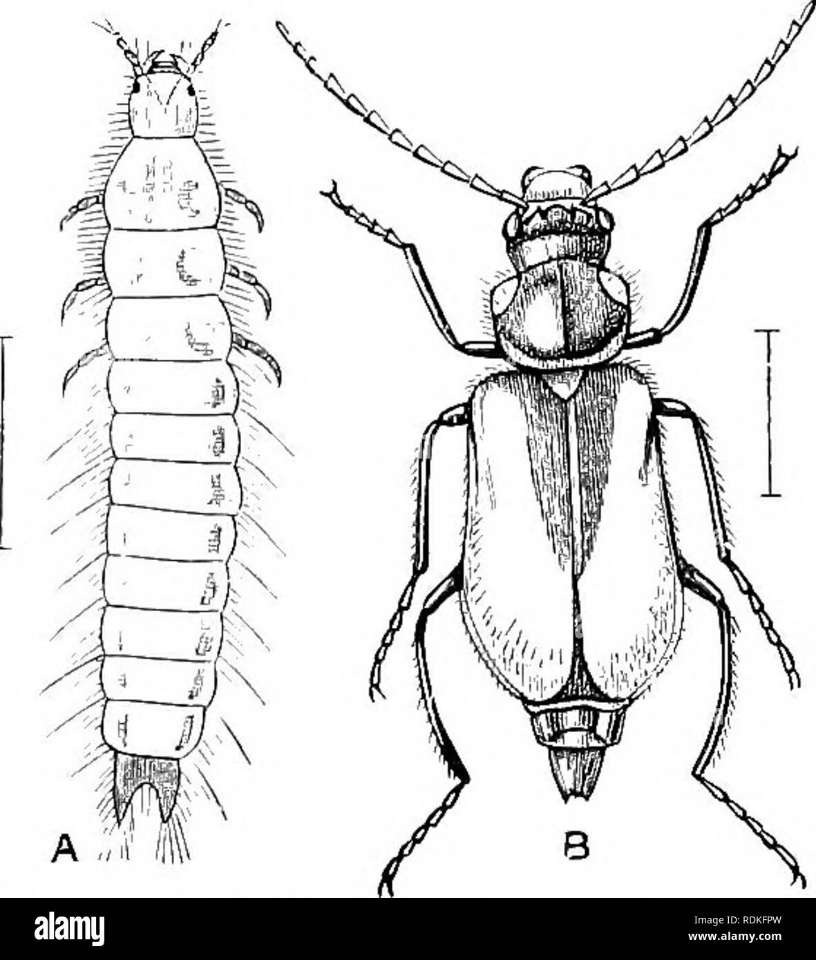. The Cambridge natural history. Zoology. :S: COLEOPTERA CHAP. the under side of the head, and a moderate-sized pair with fine facets on the upper side. Nothing is known as to the habits of this curiosity, not even whether it is luminous in one or both sexes. It is believed that the perfect instar of Lampyrides takes no food at all. The larvae -were formerly supposed to be vegetarian, but it appears probable that nearly all are carnivorous, the chief food being Mollusea either living or dead. The larvae are active, and in many species look almost as much like perfect Insects as do the imagos.  - Stock Image