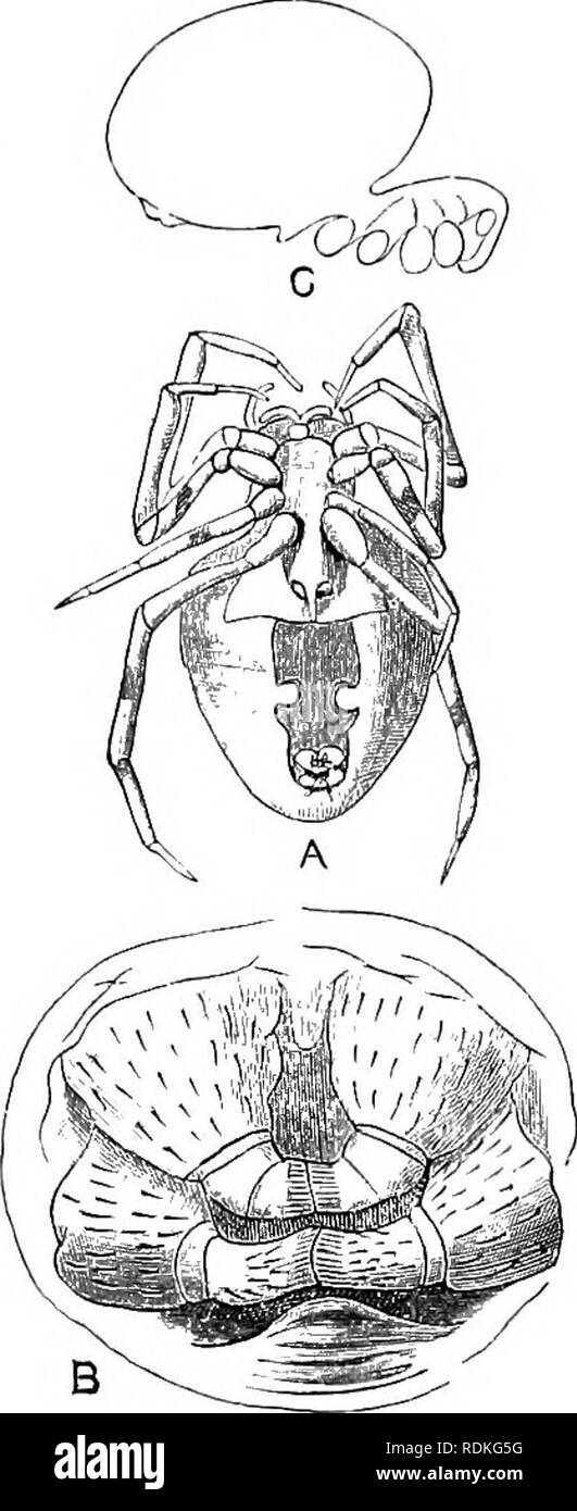 """. The Cambridge natural history. Zoology. SPINNERETS 32s Under considerable magnification the legs of all Spiders exhibit a number of minute organs, arranged with absolute uniformity throughout the Araneae, and known as the """" lyriform organs."""" They consist of little parallel ridges of thickened chitin, the slit between them being covered by thinner chitin. They are eleven on each leg, and are distributed near the distal extremities of each of the first six joints. Their function is unknown, though some authors consider them to be organs of hearing. The Spinnerets are normally six in  - Stock Image"""
