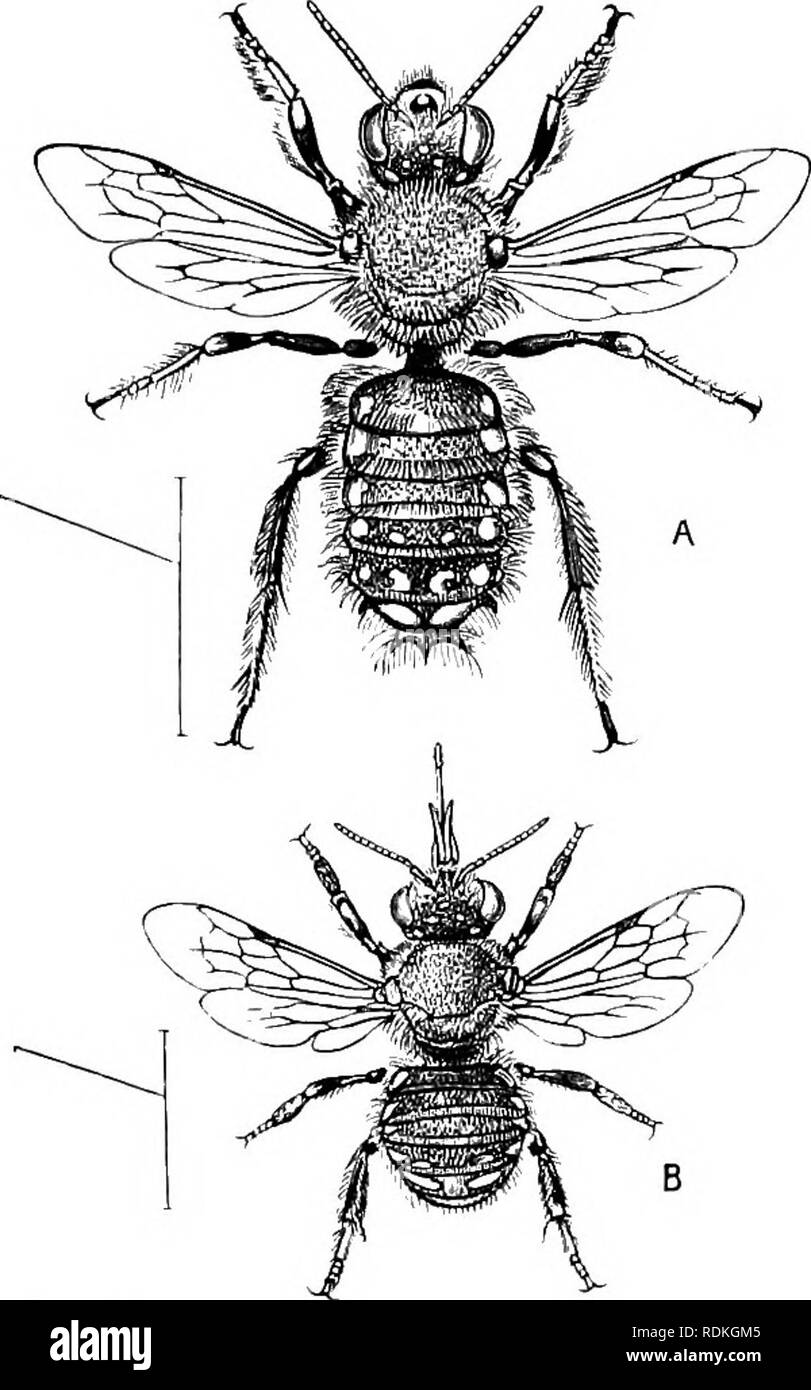 """. The Cambridge natural history. Zoology. DASYGASTRES—CARDER-BEE 45 seems to have supposed that the insect was carrying the stone as ballast to keep itself from being blown away. The bees of the genus Anthidium are known to possess the habit of making nests of wool or cotton, that they obtain from plants growing at hand. We have one species of this genus of bees in Britain; it some- times may be seen at work in the grounds of our Museum at Cambridge: it is referred to by Gilbert White, who says of it, in his History of Sellorne : """" There is a sort of wild bee frequenting the garden-campio - Stock Image"""