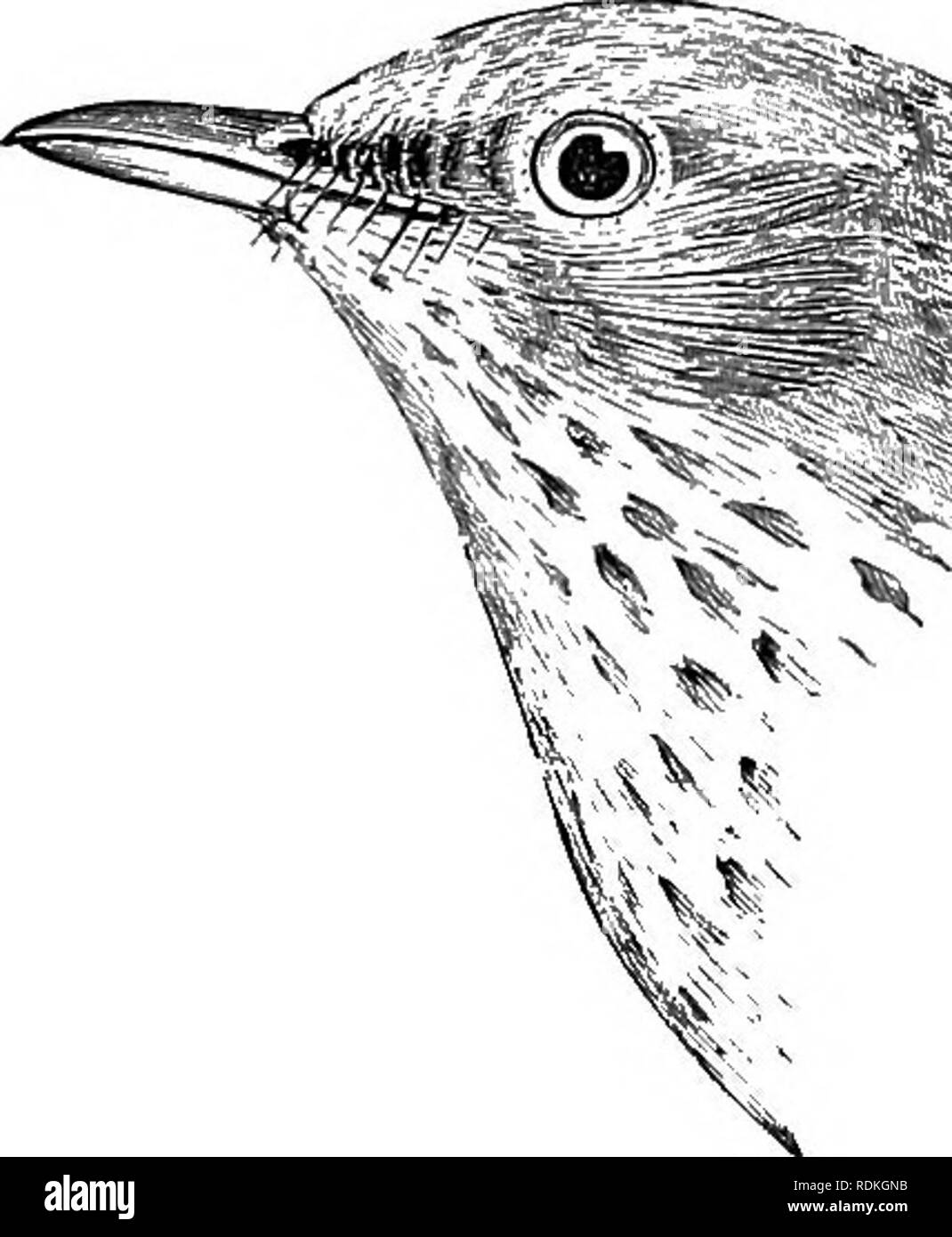 . The birds of Illinois and Wisconsin. Birds; Birds. Olive-backed Thrush. (Birds N. E. 111., 1876, p. 93), but this does not necessarily indicate breeding. Injured or non-breeding birds often re- main during the summer far south of their usual habitat. It is not known to breed in northern Wisconsin, but it is not unlikely that it does so. The song is charming but not as fine or as varied as that of the Wood Thrush, which it somewhat resembles. Alma's Thrush, Hylocichla ustulata almcs Bishop, recorded from Wisconsin (Kumlien and Hollister, Birds of Wisconsin, 1903, p. 127) is apparently insepar Stock Photo