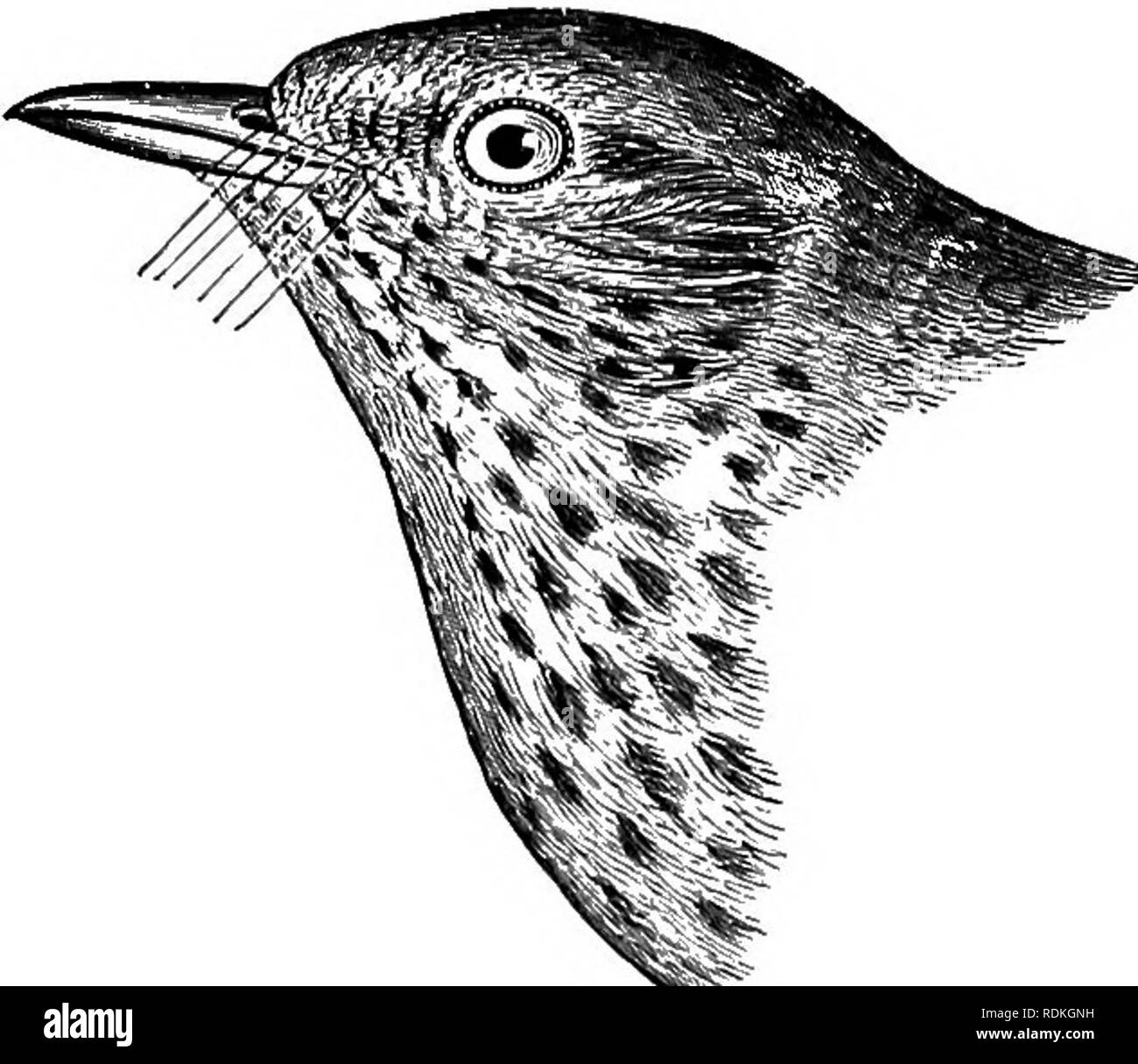 . The birds of Illinois and Wisconsin. Birds; Birds. Jan., 1909. Birds of Illinois and Wisconsin—Cory. 711. Olive-backed Thrush. (Birds N. E. 111., 1876, p. 93), but this does not necessarily indicate breeding. Injured or non-breeding birds often re- main during the summer far south of their usual habitat. It is not known to breed in northern Wisconsin, but it is not unlikely that it does so. The song is charming but not as fine or as varied as that of the Wood Thrush, which it somewhat resembles. Alma's Thrush, Hylocichla ustulata almcs Bishop, recorded from Wisconsin (Kumlien and Hollister,  Stock Photo