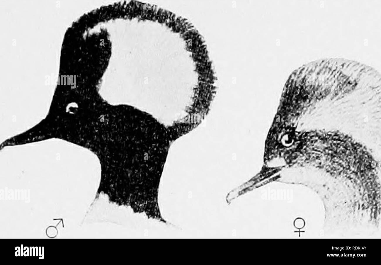 . The birds of Illinois and Wisconsin. Birds; Birds. Jan., 1909. Birds of Illinois and Wisconsin — Cory. 319'. Adult female: Head and neck, brownish, showing a slight crest, but not nearly as large as in the male; under parts, white. Length, 18.50; wing, 7.7s;. tarsus, 1.30; bill, 1.50. The young bird resembles- the female, but has no crest. Length, 18.50; wing, 7.70; tarsus, 1.25; bill, 1.50. The Hooded Merganser is an abundant migrant and a not un- common summer resident in both Illinois and Wisconsin. It fre- quents the ponds and streams during the breeding season and builds its nest in a h - Stock Image