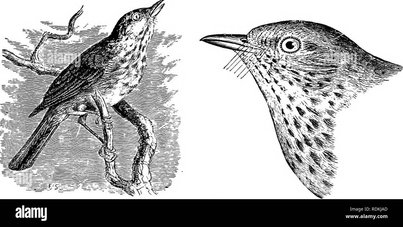 . The birds of Illinois and Wisconsin. Birds; Birds. * GROUP 1. Wing, from 3.25 to 4.75 inches long. PART 1. The following species have the under parts more or less streaked or spotted :—. Thrush. Back, rump, and upper tail coverts, olive, about the same color; eye ring, cheeks, and lores, pale buff; no white on wing coverts. Hylocichla ustulata swainsonii. Olive-backed Thrush. See No. 362. *For directions for measurement, see page 21.. Please note that these images are extracted from scanned page images that may have been digitally enhanced for readability - coloration and appearance of these Stock Photo