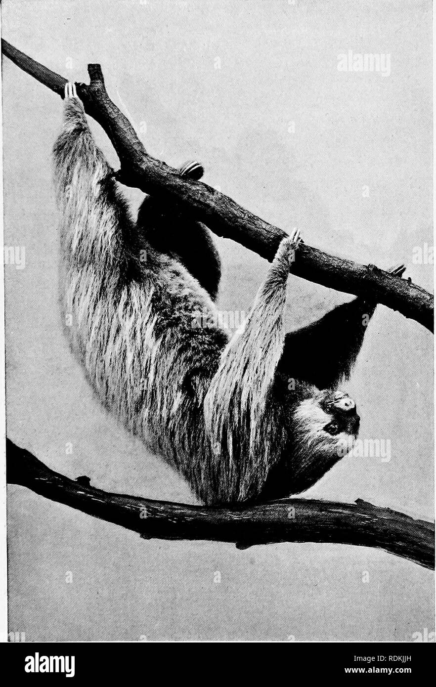 """. Mammals of other lands;. Mammals. CHAPTER XXI THE SLOTHS, JNT-EJTERS, AND ARMADILLOS BY W. P. PYCRAFT, A. L. S., F. Z. S. THE very remark- able assemblage of animals we are now about to consider includes many diverse forms, bracketed together to constitute one great group; and this on account of the peculiarities of the structure and distribution of the teeth, which are never present in the front of the jaw, and may be absent altogether. Of the five groups recognised, three occur in the New and two"""" in the Old World. All have undergone vefy considerable modification of form and structur - Stock Image"""