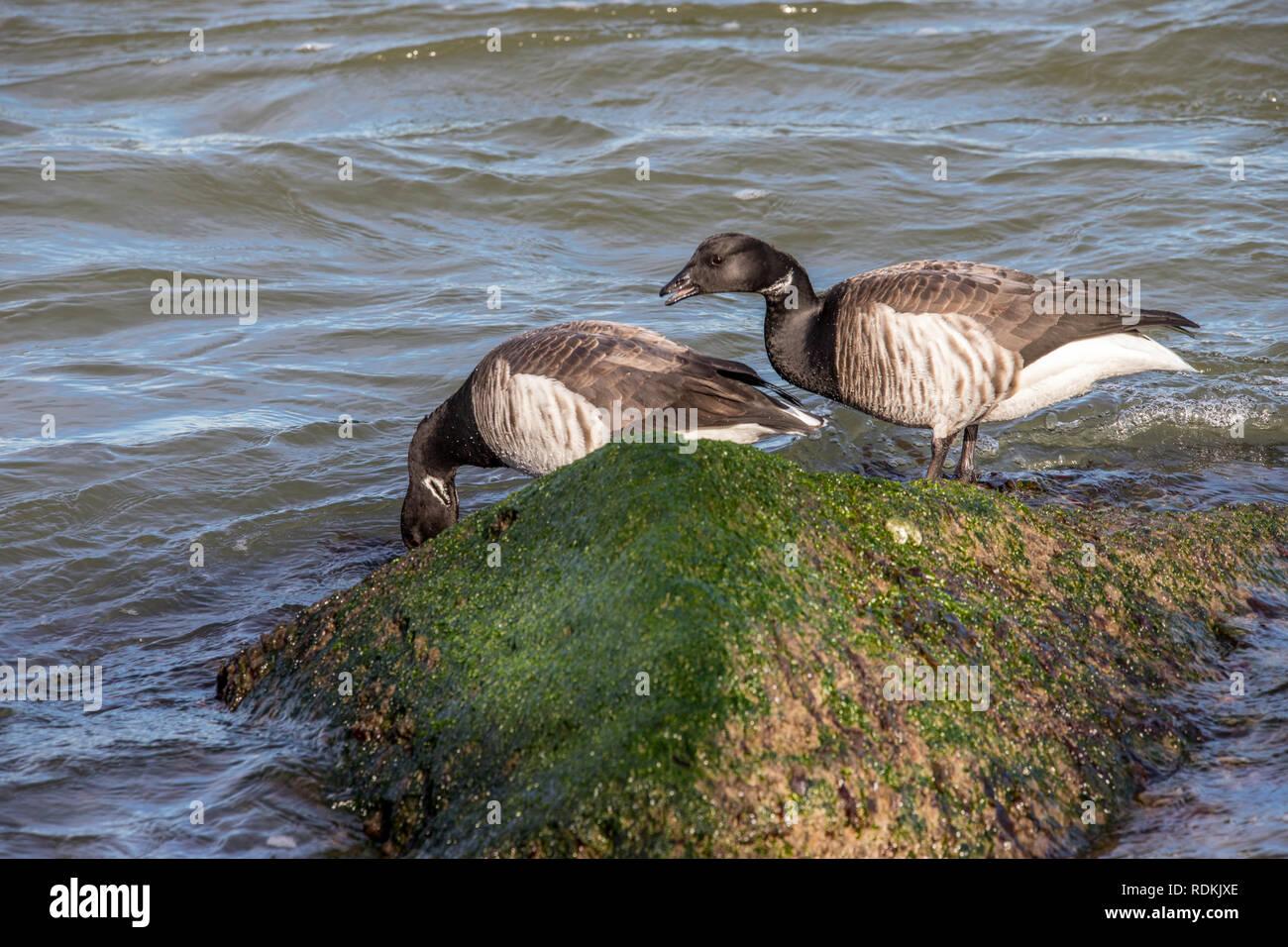 Brant Goose on the rocks - Stock Image
