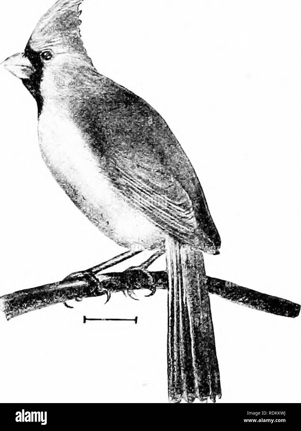 . Birds of the United States east of the Rocky Mountains; a manual for the identification of species in hand or in the bush. Birds. FA3I. XIII. FINCHES, SFARROWH, ETC. 137 44.' Cardinal (593. Cardinalis cardinMis). — A large, distinctly crested, red bird, with black around the red bill, most extensive on the throat. The female has less bright red anywhere, the under parts are buffy and the throat blackish. The crest, wings, and tail are dull red. ^^ These birds are fine song- sters and are frequently kept in cages; both sexes sing. They are resident birds wher- ever they are found, and as they - Stock Image