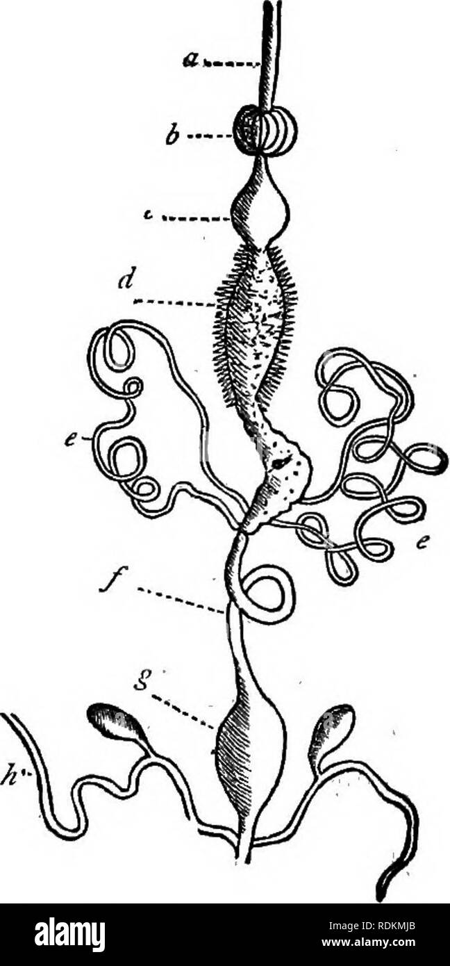 """. A manual of zoology for the use of students : with a general introduction on the principles of zoology . Zoology. 252 MANUAL OF ZOOLOGY; usual form. The maxillae and the labium are greatly elon- gated ; the former being apposed to the lengthened tongue in such a manner as to form a tubular trunk, which cannot be rolled up, as in the Butterflies, but is capable of efficient suc- tion. The labial palpi are also greatly elongated. In the Hemiptera, the """" trophi"""" consist of four lancet-shaped needles, which are the modified mandibles and maxillae, en- closed in a tubular sheath formed  - Stock Image"""