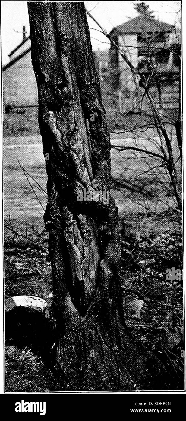 . Nature study and life. Nature study. ELEMENTARY FORESTRY 375 October to May ? If not, ask the class to explain why not. Let them ask their parents about the history of nut trees in the neigh- borhood to find out whether they have in- creased or decreased in number during their recollection. Let them ascertain, so far as possible, the causes for de- crease in nut trees, if such has occurred, and encourage them to reason out the best ways by which these causes may be counteracted and nut trees increased. In the writer's experience abuse of nut trees, and of those who own them, is the chief rea - Stock Image