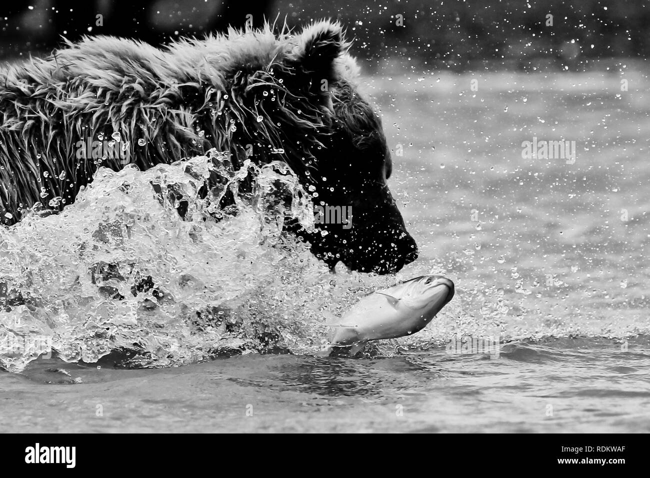 a brown bear, Ursus arctos, lunges for a salmon in the ocean at Hallo Bay, Katmai National Park, Alaska, where bear viewing is  a popular activity - Stock Image