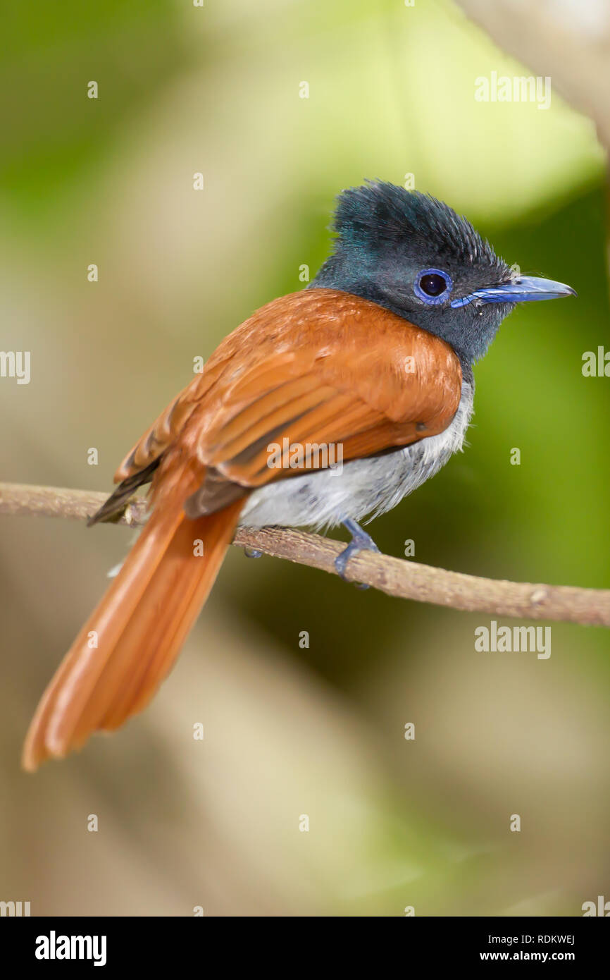 A colorful African Paradise Flycatcher, Terpsiphone viridis, perches on a branch in the forest of Umlalazi, KwaZulu-Natal, South Africa. Stock Photo