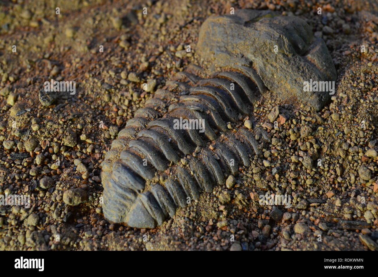 Trilobite Fossil 4 - Stock Image