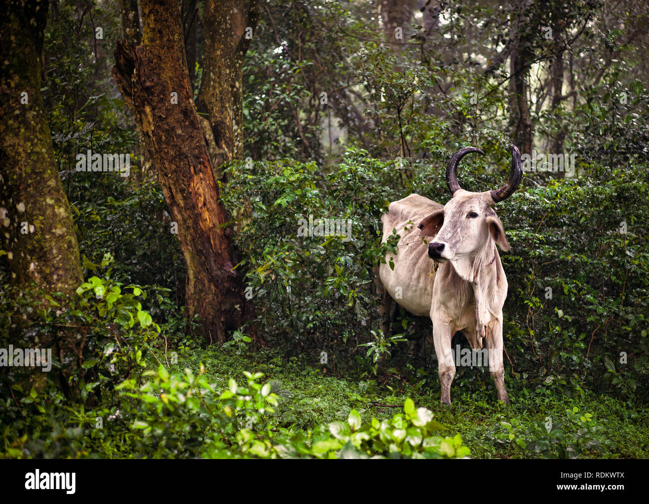An Nguni cow emerges from the sacred Ngoye Forest on a misty day in KwaZulu-Natal, South Africa. - Stock Image