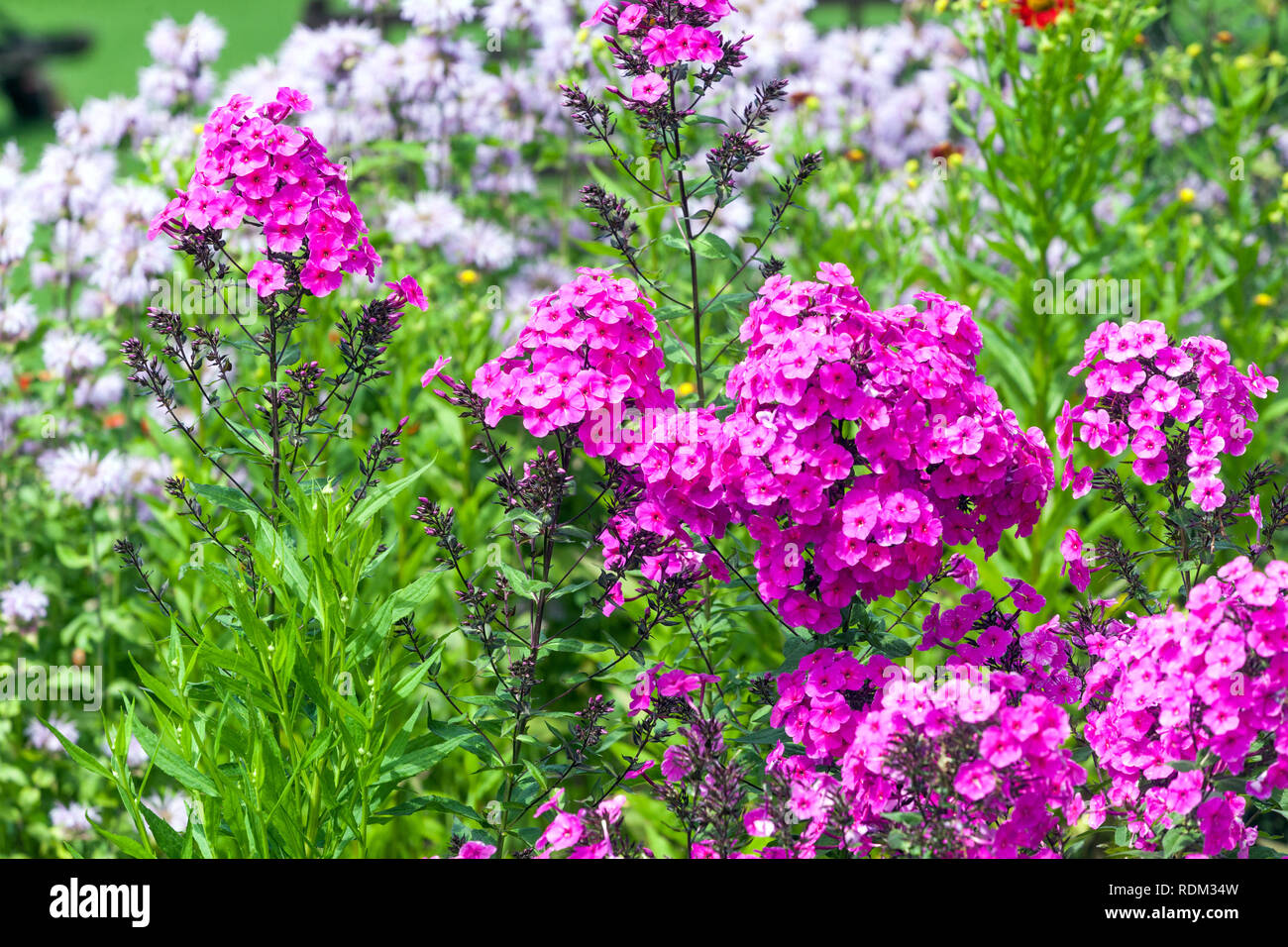 Perennial garden flower border plant Phlox - Stock Image