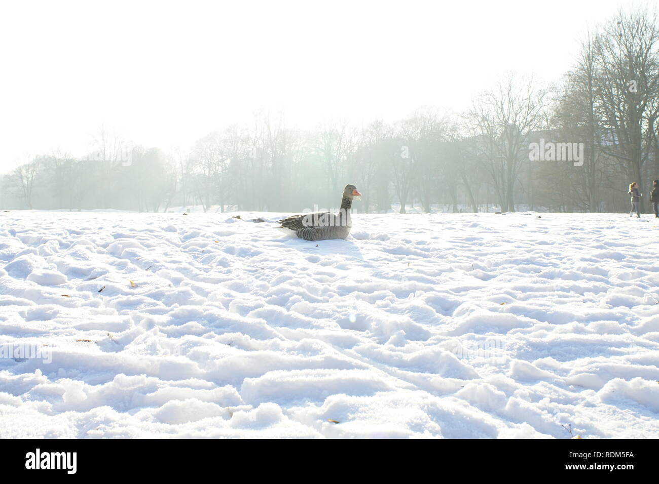 Goose sitting in the englisch garden in the snow - Stock Image