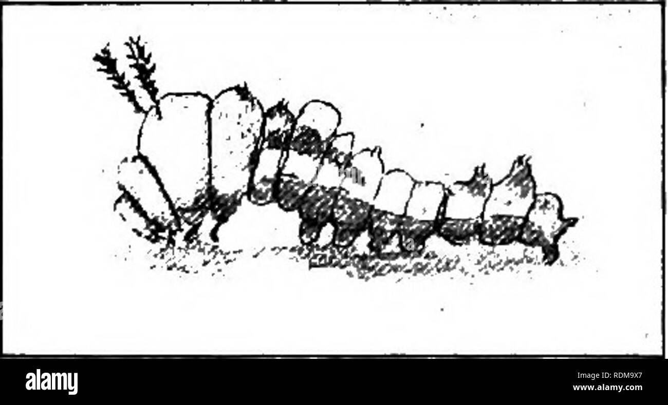 """. Ways of the six-footed. Insects. 44 WAYS OF THE SIX-FOOTED warts and tubercles appear on him after the first moult; these grow more numerous and noticeable with each succeeding change until he becomes a most grotesque and amazing-appearing creature, with a pair of spiny pompons in front and spines too numerous to mention decorating his body. Most people not entomologically educated would exclaim on seeing this caterpillar when full grown """" The horrid thing ! """" And if the caterpillar could hear and be conscious of the history of his race as embodied in himself, he would rejoice and  - Stock Image"""
