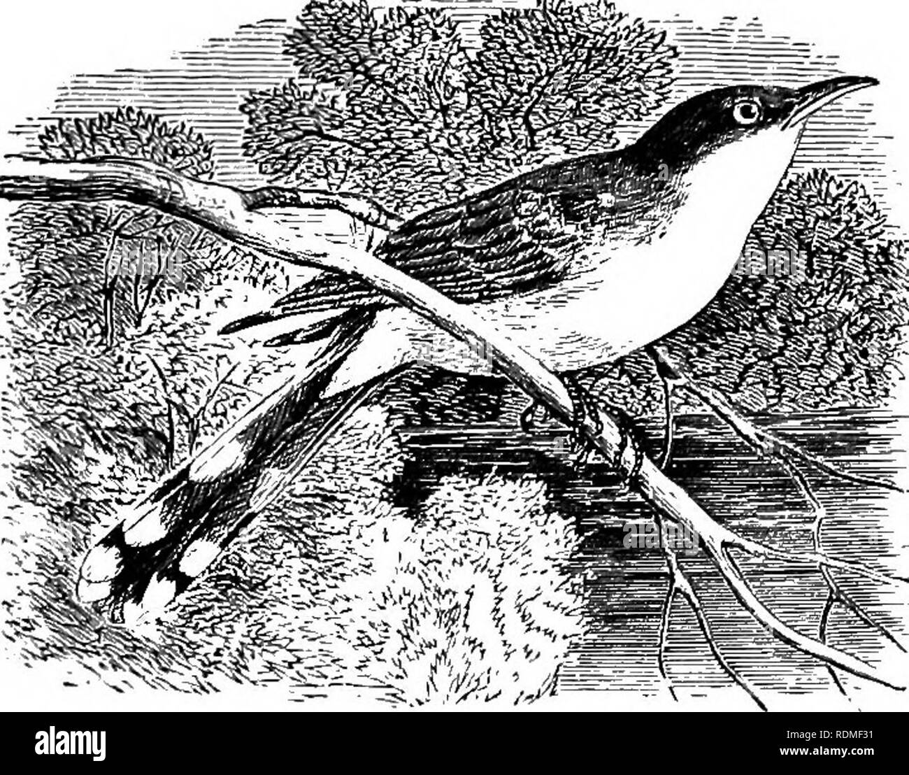 . The birds of Illinois and Wisconsin. Birds; Birds. Jan., 1909. Birds of Illinois and Wisconsin—Cory. 161 Family CUCULIDiE. Cuckoos. Feet, zygodactyle (two toes in front, two behind); first primary, about half as long as third; outer tail feathers, much shorter than middle ones.. Yellow-billed Cuckoo. Upper parts, brownish gray, with faint gloss of greenish; under mandible, mostly yellow; greater portion of primaries, rufous brown, tipped with grayish olive; under parts, dull white; outer tail feathers, black, tipped with white. Coccyzus americanus. Yellow-billed cuckoo. See No. 185. Upper pa - Stock Image