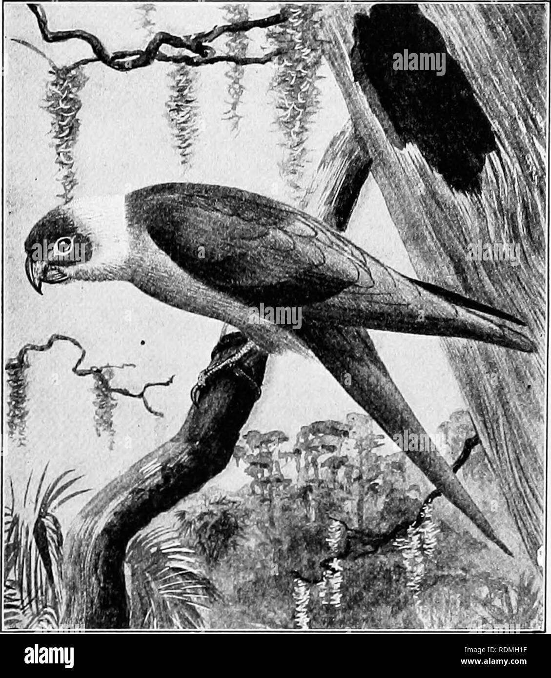 . The American natural history : a foundation of useful knowledge of the higher animals of North America . Natural history. CHAPTER XX THE ORDER OF PARROTS AND MACAWS PS ITT AC r The parrots, parrakeets, macaws and cocka- toos form a large group, containing in all more than 500 species. Of these, about 150 inhabit the New World, but only one species is found in the United States. South America contains the greatest number of species; Africa and Asia are but poorly supplied, and Europe has none. The widest departures from the standard types are found in New Zealand and Australia.. Drawn by Edmu - Stock Image