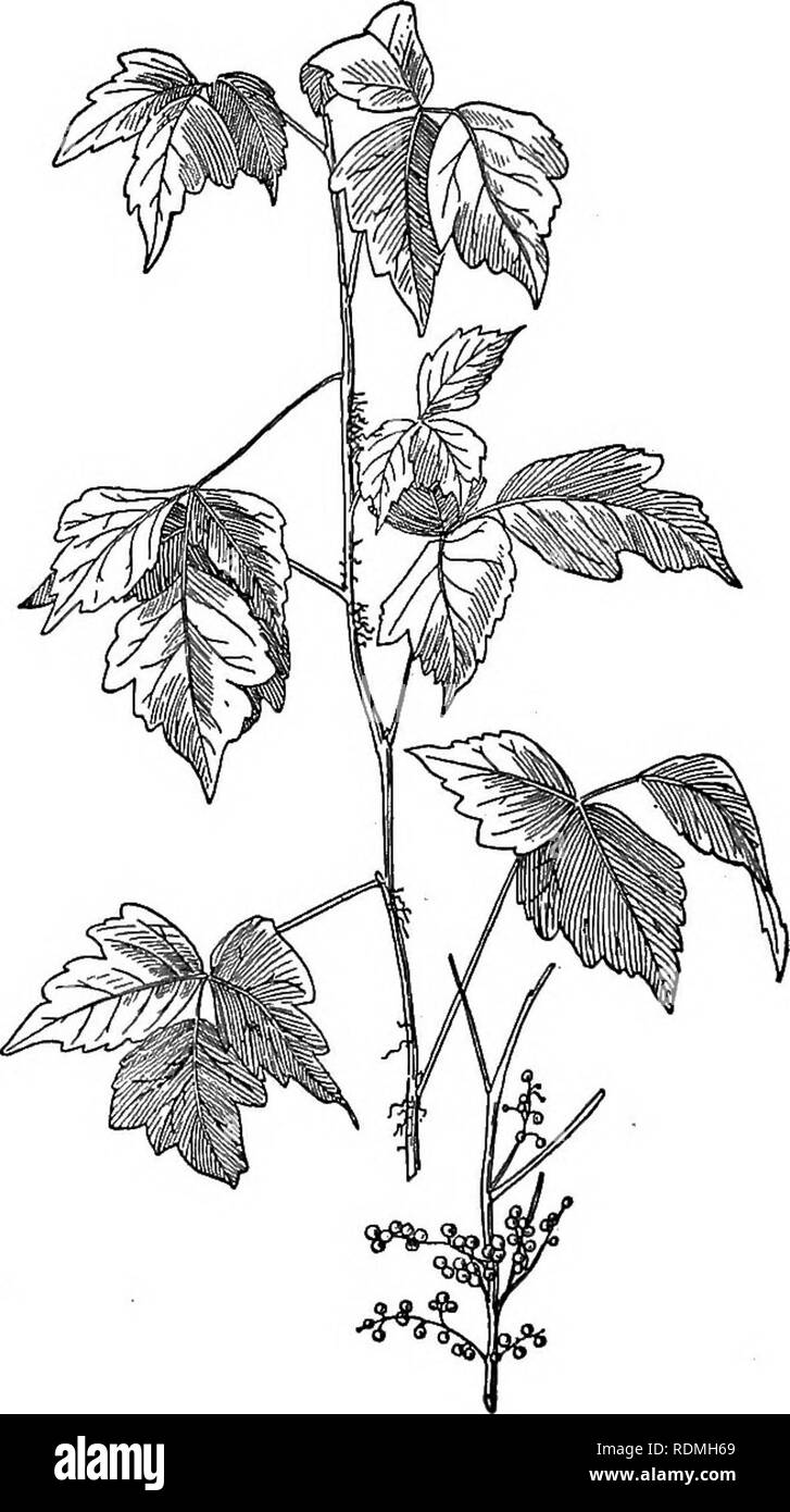 . Nature study and life. Nature study. io8 NATURE STUDY AND LIFE it would seem that either pollen or particles of dust that had absorbed the oil from the leaves must be carriers for the poison. Ordinary washing, even with soap, merely. Fig. 44. Poison Ivy spreads the oil and serves to rub it in. If poisoning has occurred, or if there has been serious exposure in hand- ling or destroying the plants, affected or exposed parts should be bathed in a strong solution of lead acetate in. Please note that these images are extracted from scanned page images that may have been digitally enhanced for rea - Stock Image