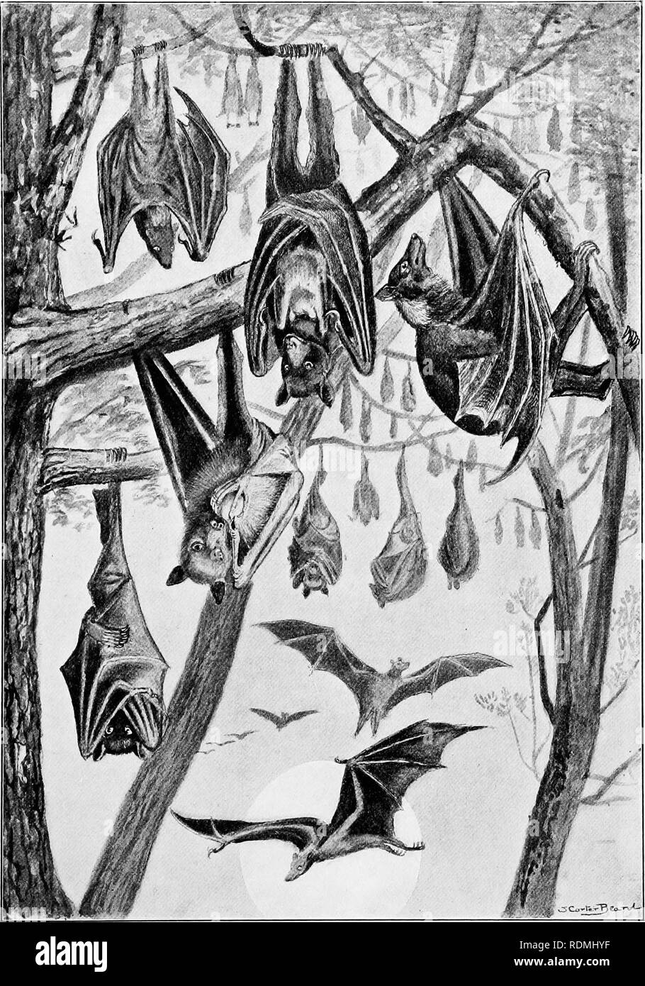 ". The American natural history : a foundation of useful knowledge of the higher animals of North America . Natural history. FRUIT-EATING BATS, OE FLYING "" FOXES."". Please note that these images are extracted from scanned page images that may have been digitally enhanced for readability - coloration and appearance of these illustrations may not perfectly resemble the original work.. Hornaday, William Temple, 1854-1937. New York : C. Scribner Stock Photo"