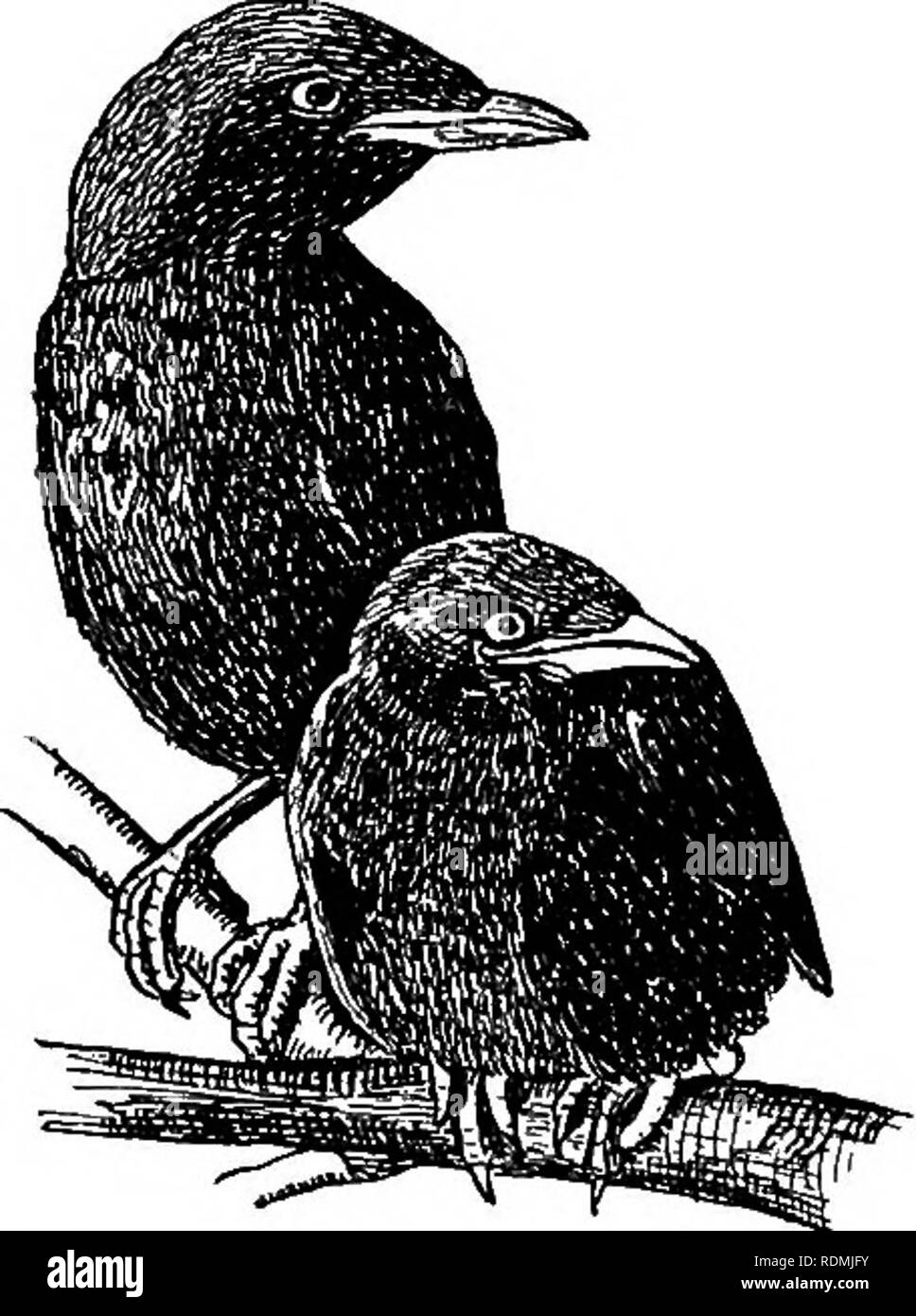 . Useful birds and their protection. Containing brief descriptions of the more common and useful species of Massachusetts, with accounts of their food habits, and a chapter on the means of attracting and protecting birds. Birds; Birds. VALUE OF BIRDS TO MAN. 49 The Time required for Assimilation of Food. If we assume that the stomach and oesophagus of a young Crow can contain but an ounce of food, then the bird would be required to digest from eight to twelve meals a day, according to its appetite and opportunity. The question at once arises, How can any digestive system complete such a task?  - Stock Image