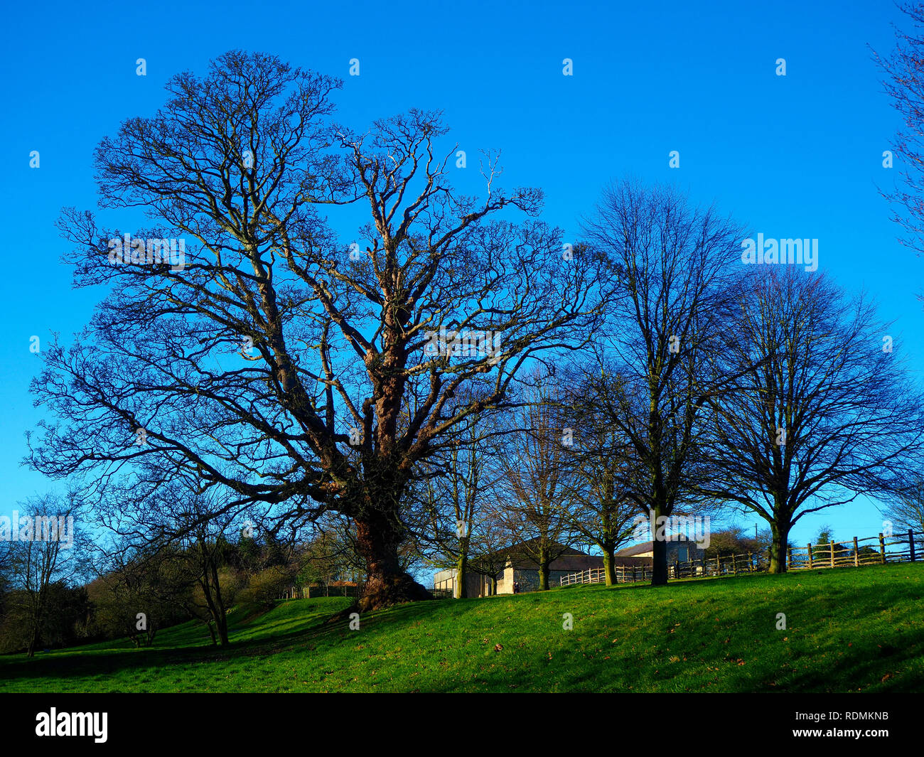 Impressive large trees with bare winter branches on a green hilltop with farm buildings and a vivid blue sky in Yorkshire, England - Stock Image