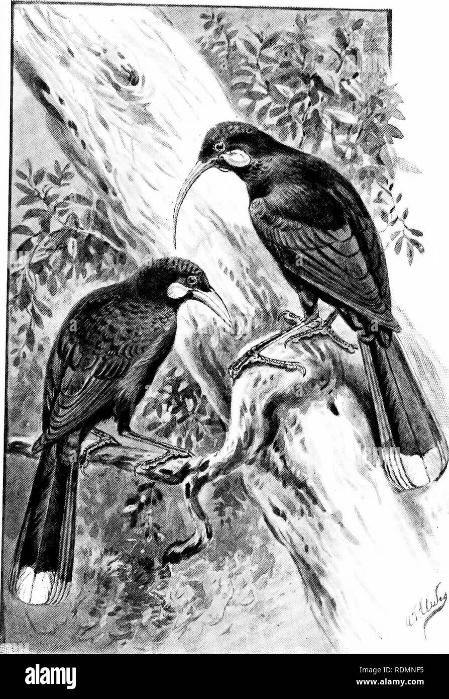 . Wonders of the bird world. Birds. The Huia {Heteralocha acutirostris).. Please note that these images are extracted from scanned page images that may have been digitally enhanced for readability - coloration and appearance of these illustrations may not perfectly resemble the original work.. Sharpe, Richard Bowdler, 1847-1909. New York, Frederick A. Stokes company Stock Photo