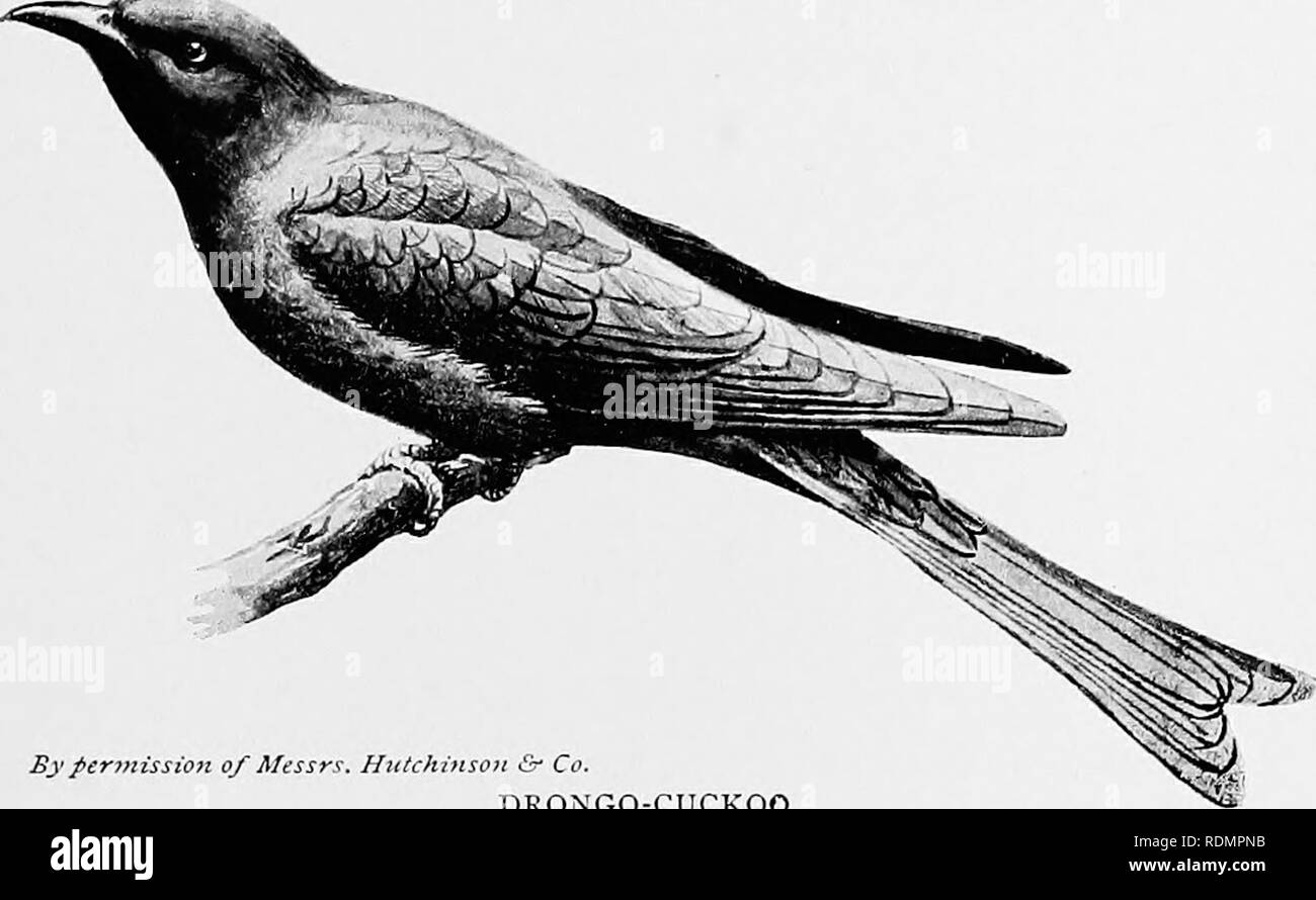 """. The making of species. Evolution. Bypeniiissio7i of A/i'ss?-. Hiitdiiitsoii t"""" Co. KING-CROW OR DRONGO This very conspicuous black bird {Dicj-yi-its atcr)^ ranging from Africa to China, is a striking feature of the landscape wherever it occurs.. iiission of Afessrs. Hutchinsoji &â Co. DRONGO-CUCKOO The fork of the tall in this bird is unique among cuckoos, but is nevertheless much less developed than in the supposed model, and may be an adaptation for evolution in flight, as such tails usually appear to be.. Please note that these images are extracted from scanned page images that  - Stock Image"""